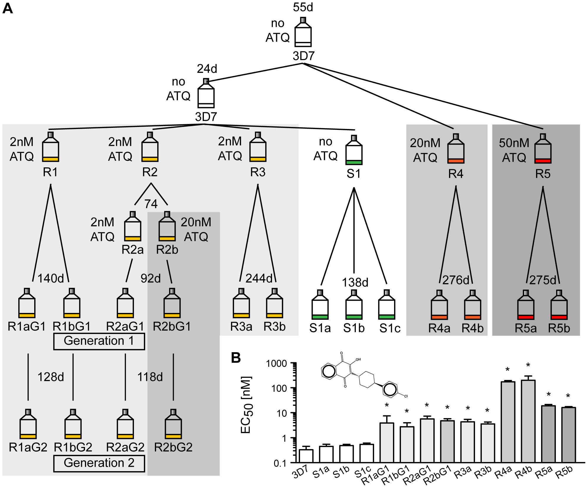 Generation of atovaquone (ATQ)-resistant parasites.