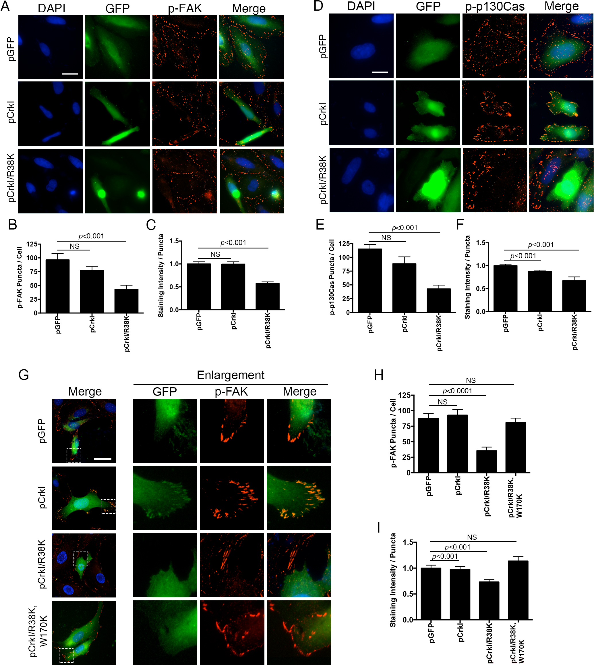 CrkI/R38K mutant disrupts FA sites in HeLa and Crk<sup>-/-</sup> cells, phenocopying ExoT/ADPRT adverse effect on FA sites.
