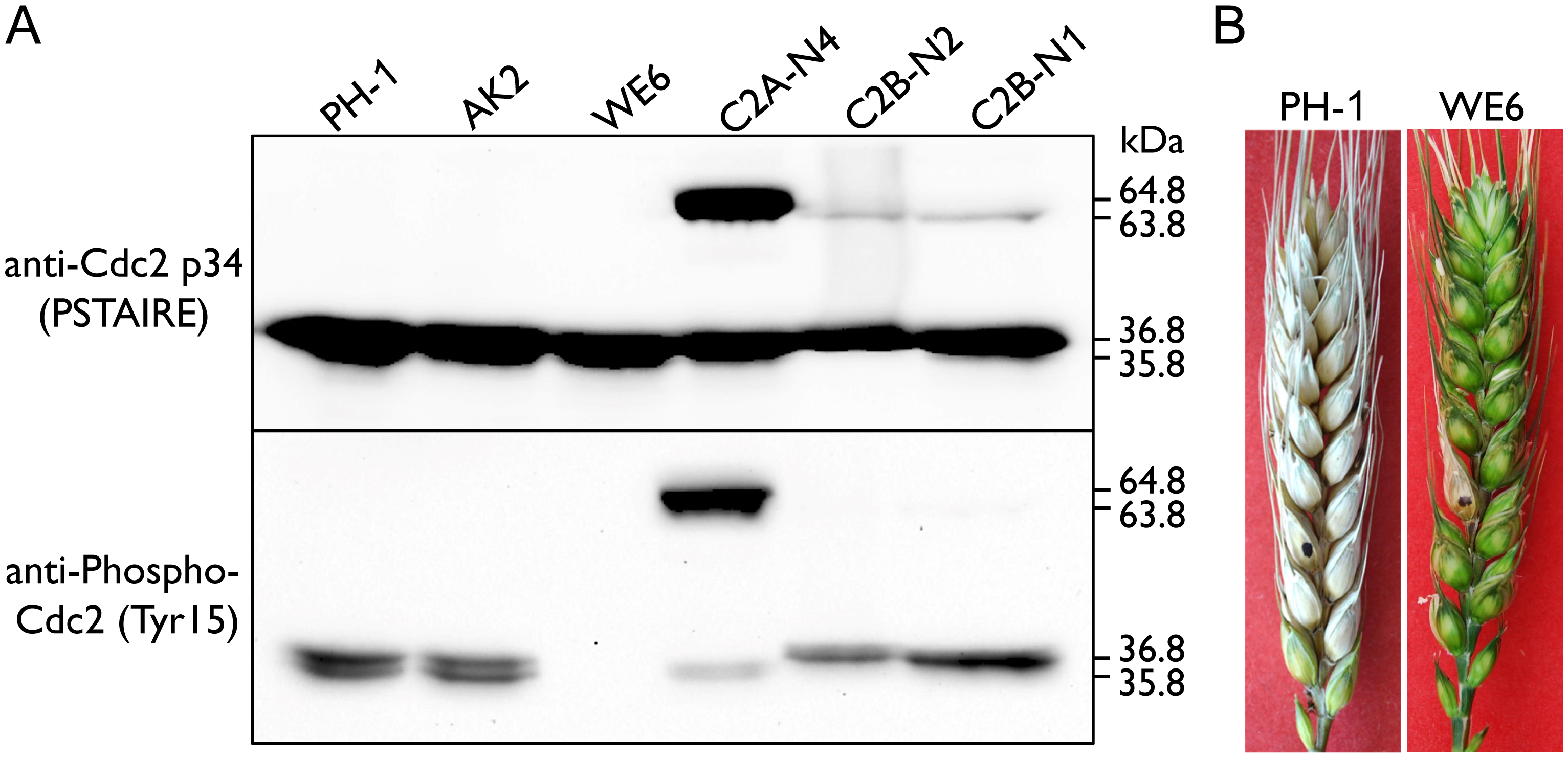 Assays for inhibitory phosphorylation of Cdc2A and Cdc2B and defects of the <i>Fgwee1</i> deletion mutants in plant infection.