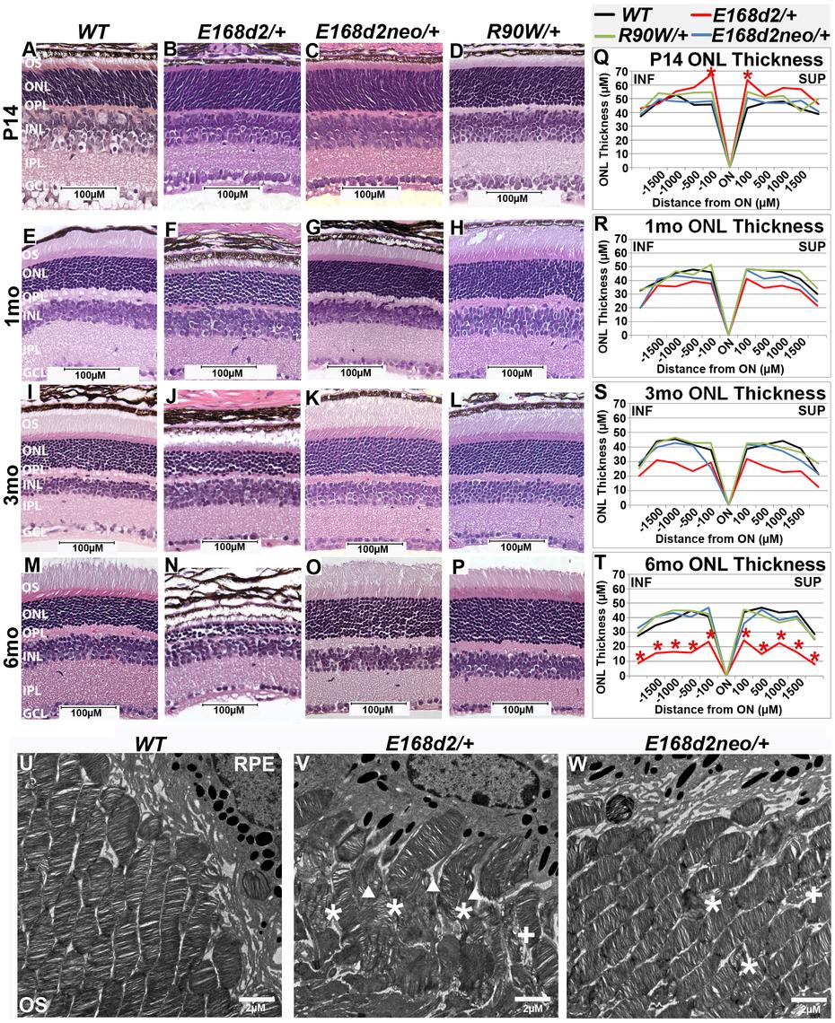 Heterozygous <i>E168d2/</i>+ mice, but not <i>R90W/</i>+, develop dominant retinopathy.