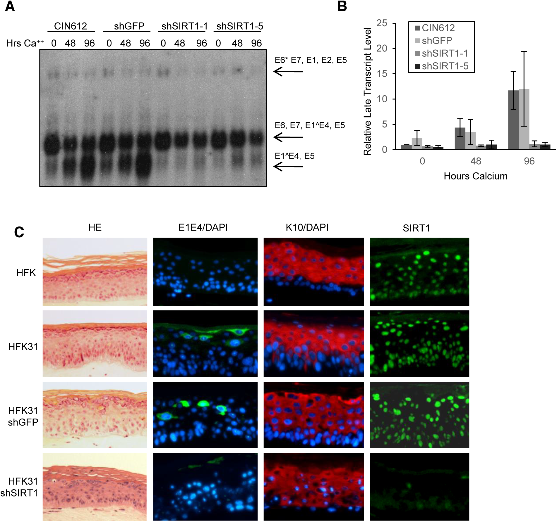 Depletion of SIRT1 by shRNAs inhibits HPV late gene transcription and expression.