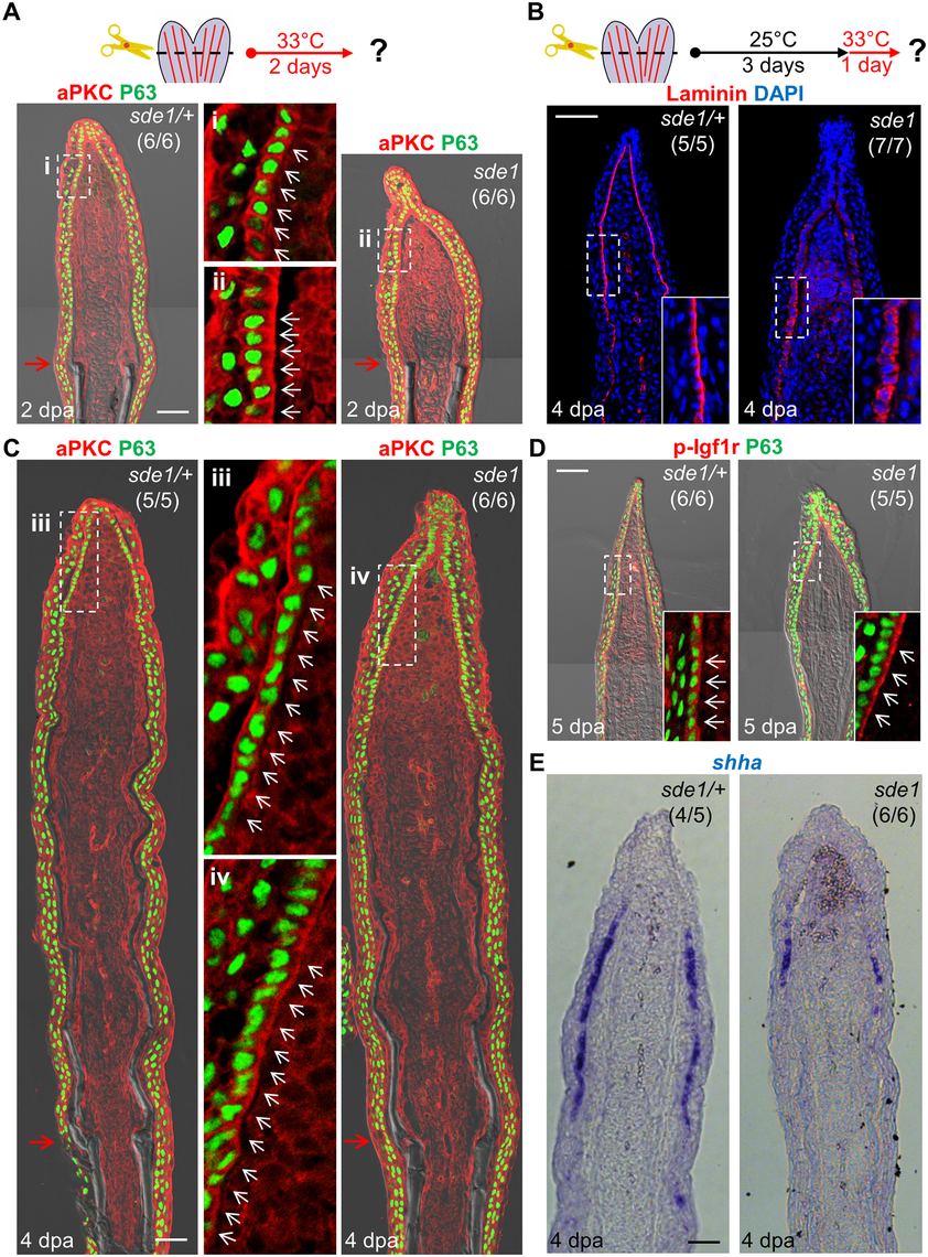 <i>lamb1a</i> induction defines cell polarity and signaling competence in basal cells of the regeneration epidermis.