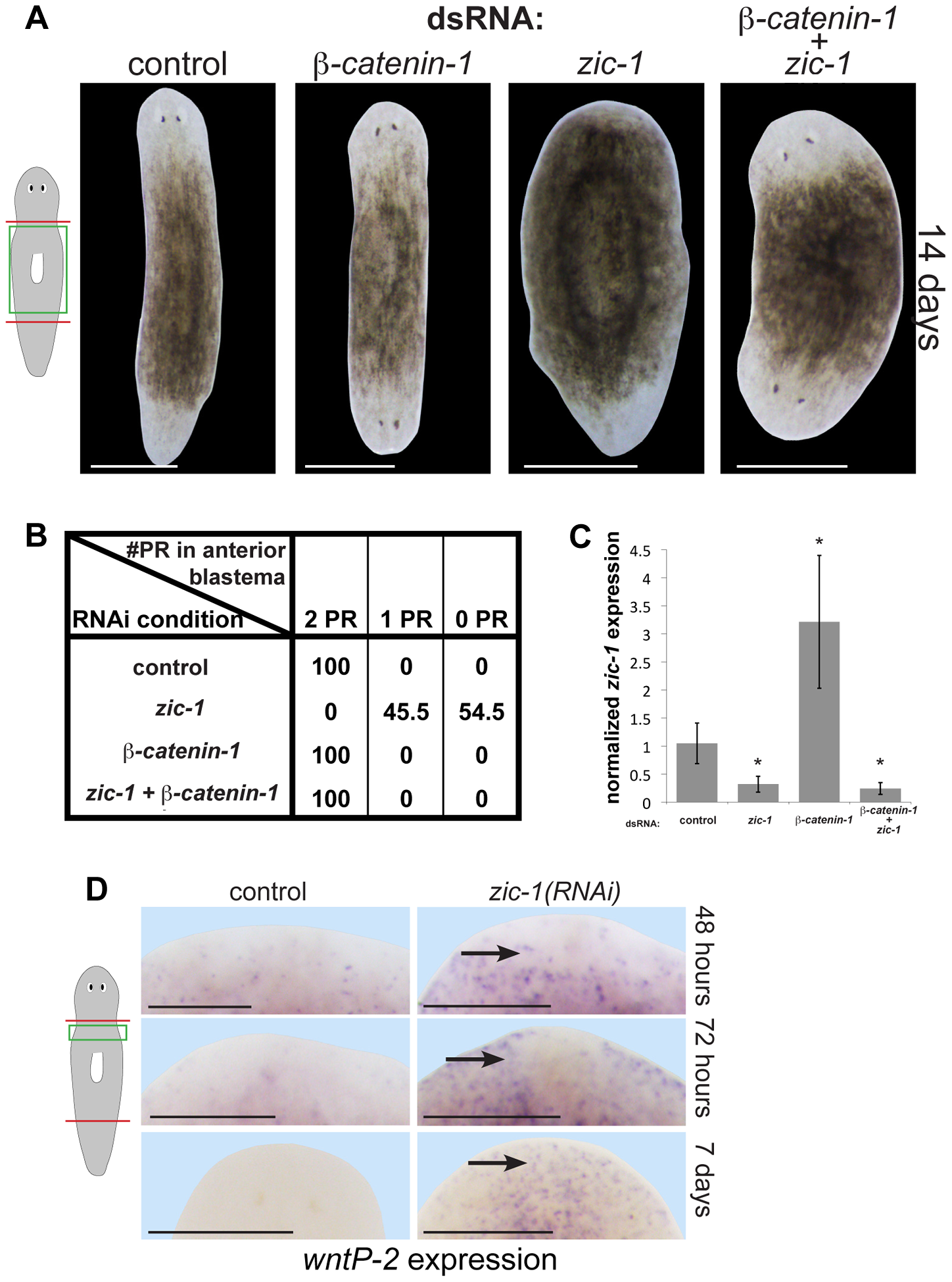 <i>zic-1</i> inhibits Wnt signaling to promote head outgrowth.