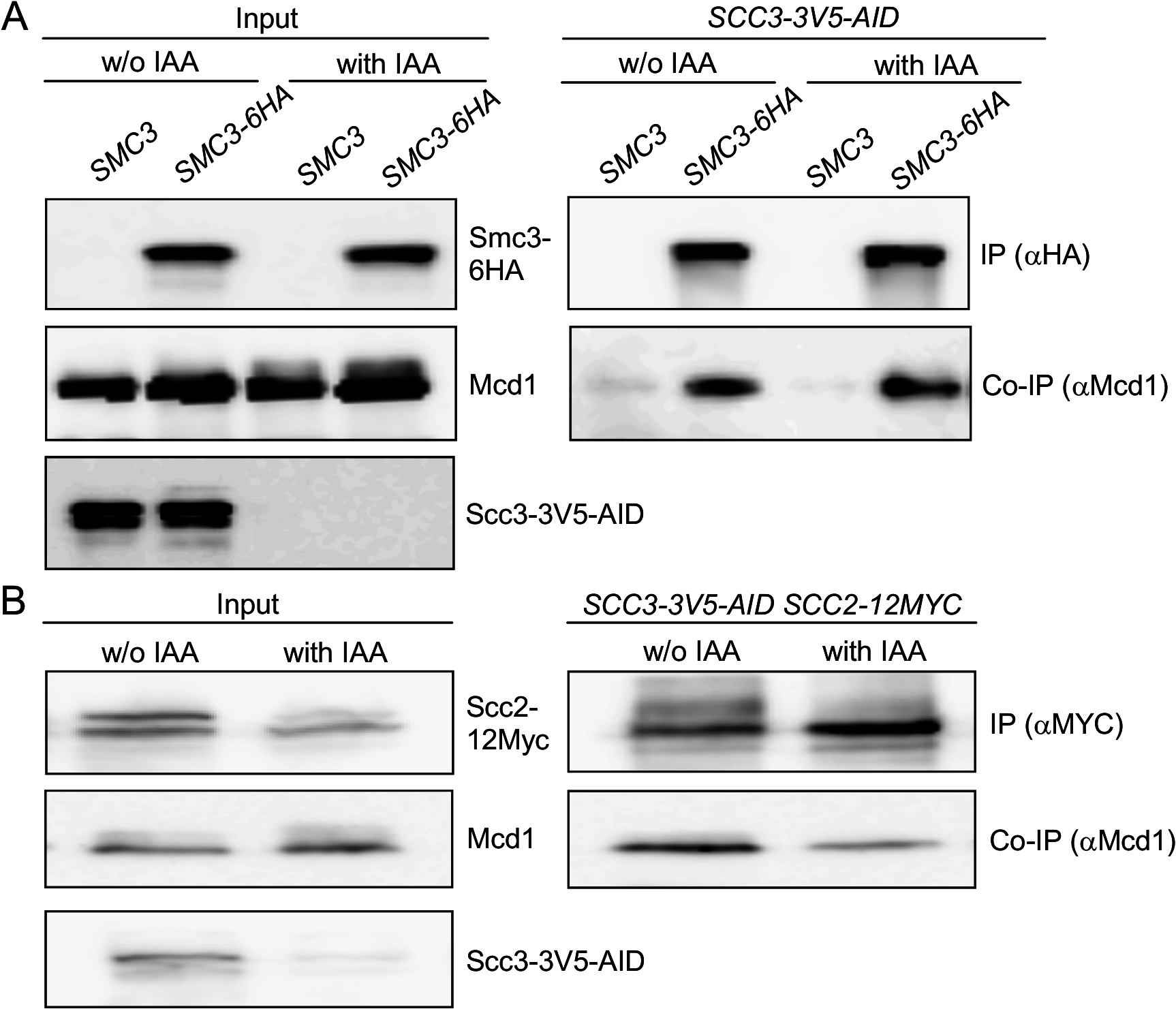 Scc3 does not affect the Smc3-Mcd1 interaction.