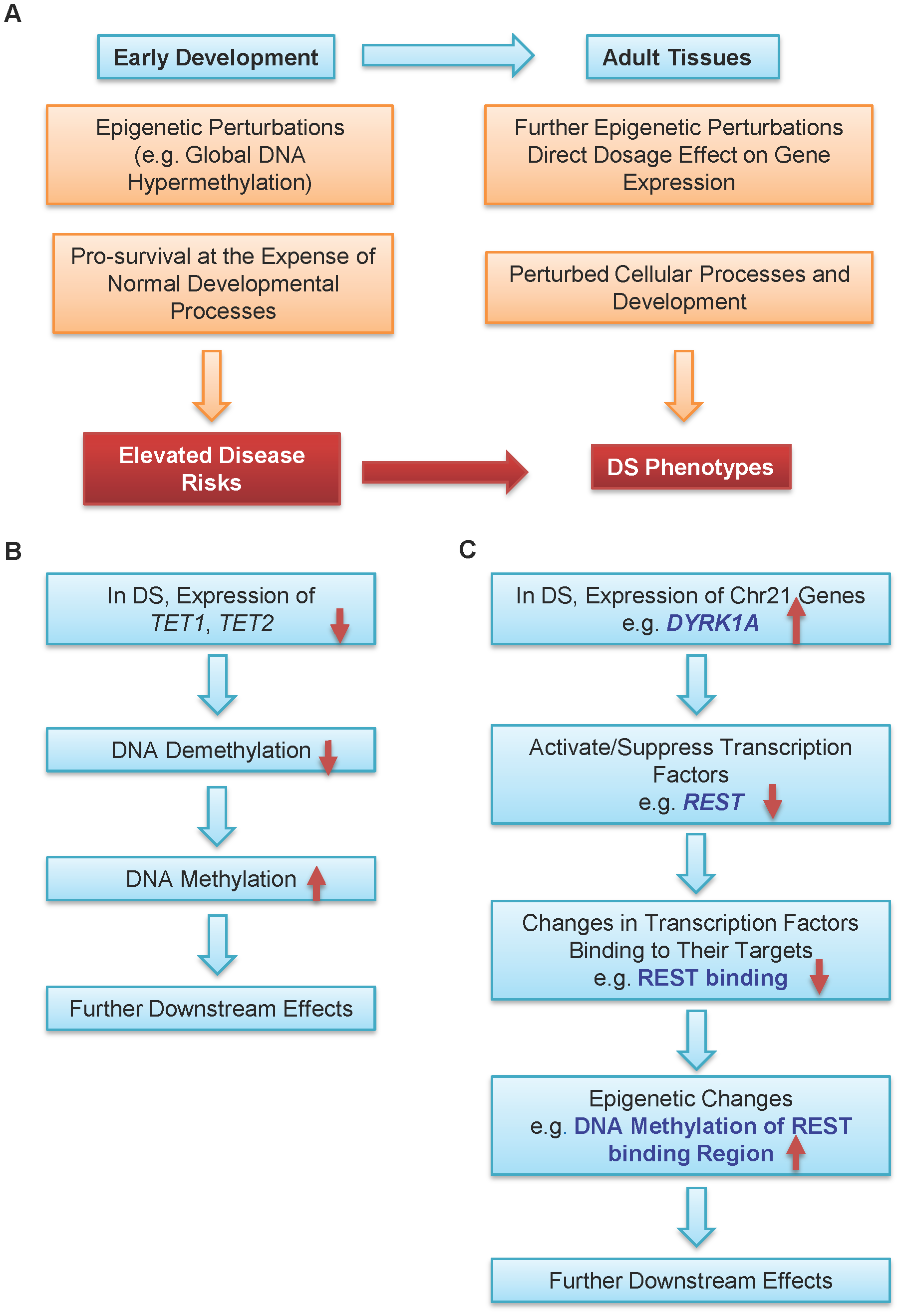 A model for epigenetic contributions to DS phenotypes.