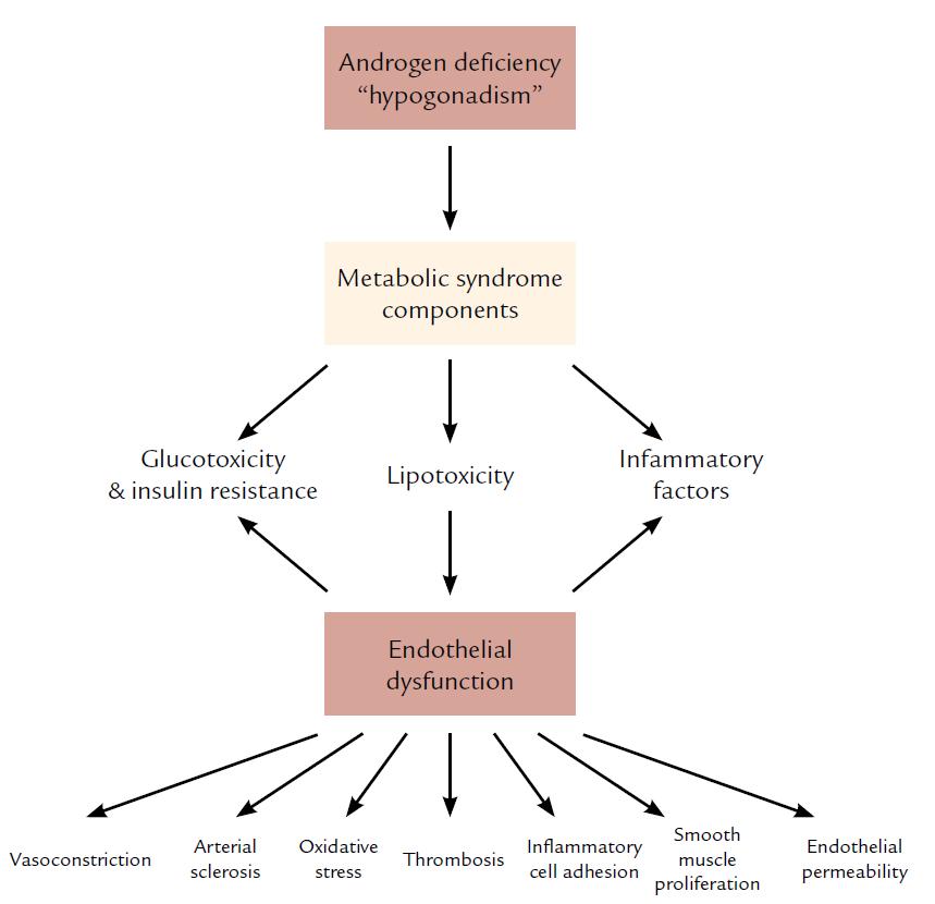Vzťah medzi androgénovým deficitom a metabolickým syndrómom a endotelovou dysfunkciou. Spracované podľa Traish AM, Saad F, Feeley RJ et al. The Dark side of Testosterone Deficiency: III. Cardiovascular Diseae. J of Andrology 2009; 30: 17– 19.