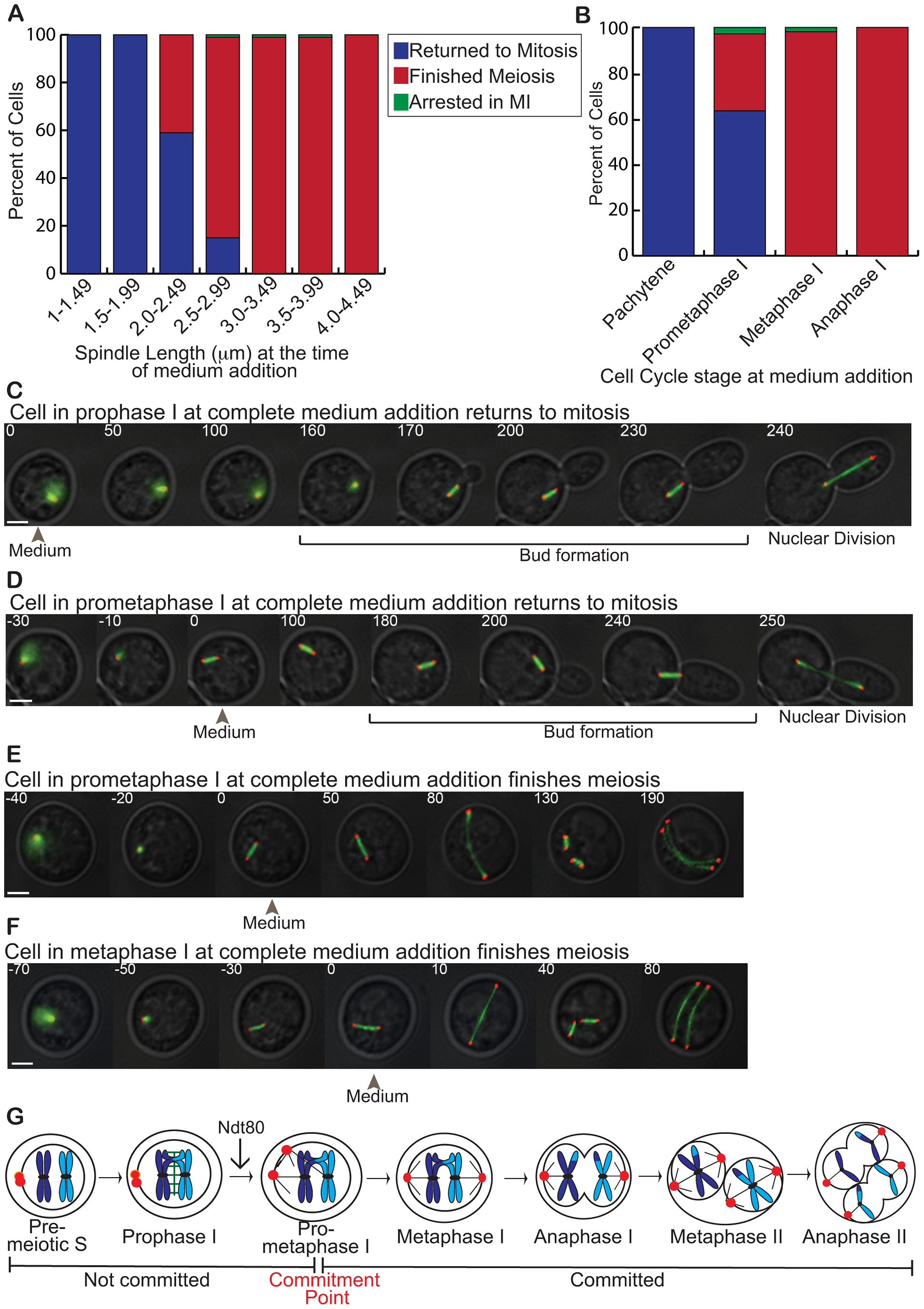 The meiotic commitment point occurs in prometaphase I.