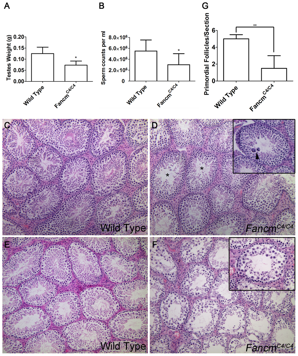 Hypogonadism and spermatogenesis defects in <i>Fancm</i> mutant males.