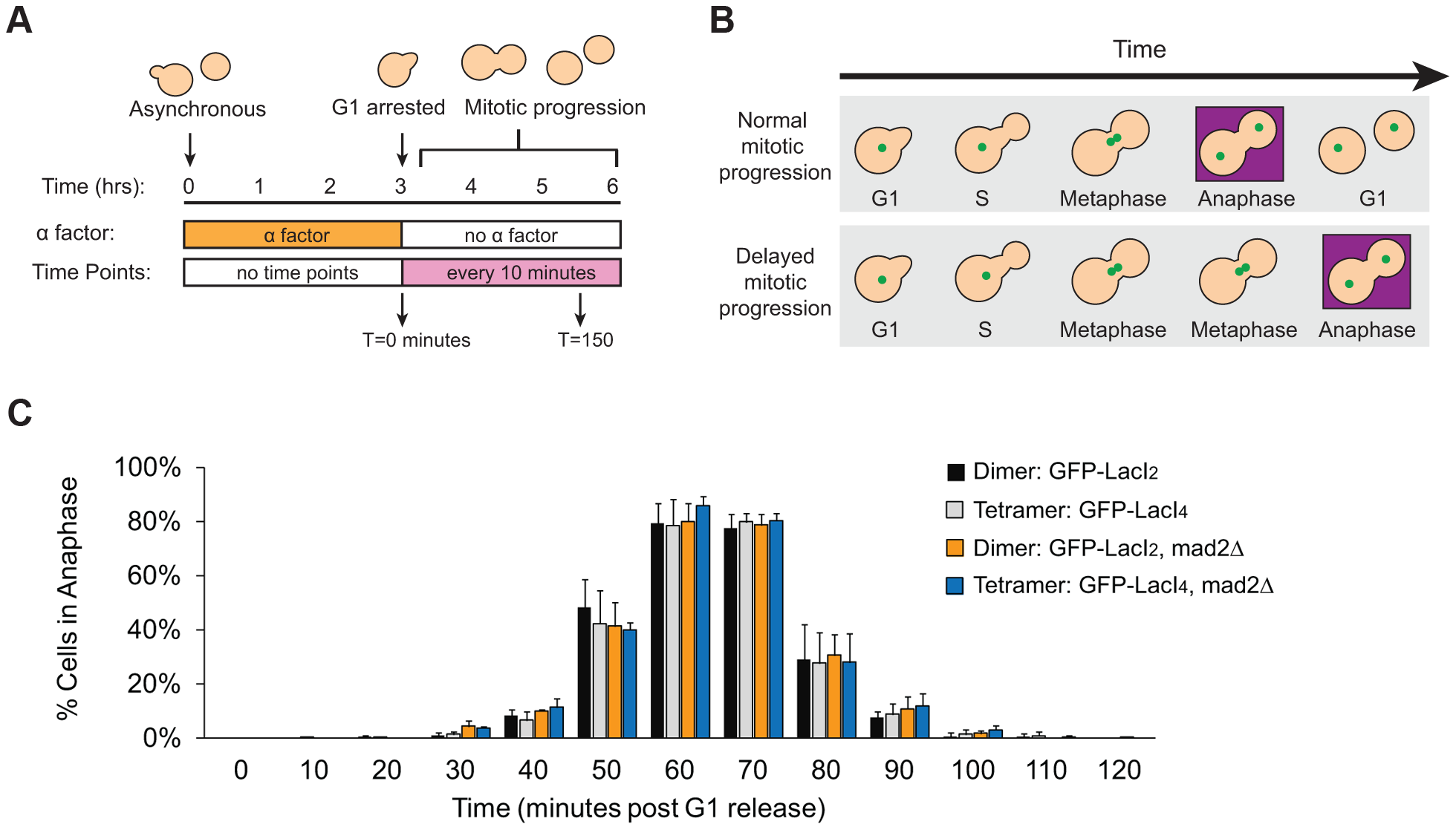 Inhibition of chromatin stretch does not delay mitotic progression.