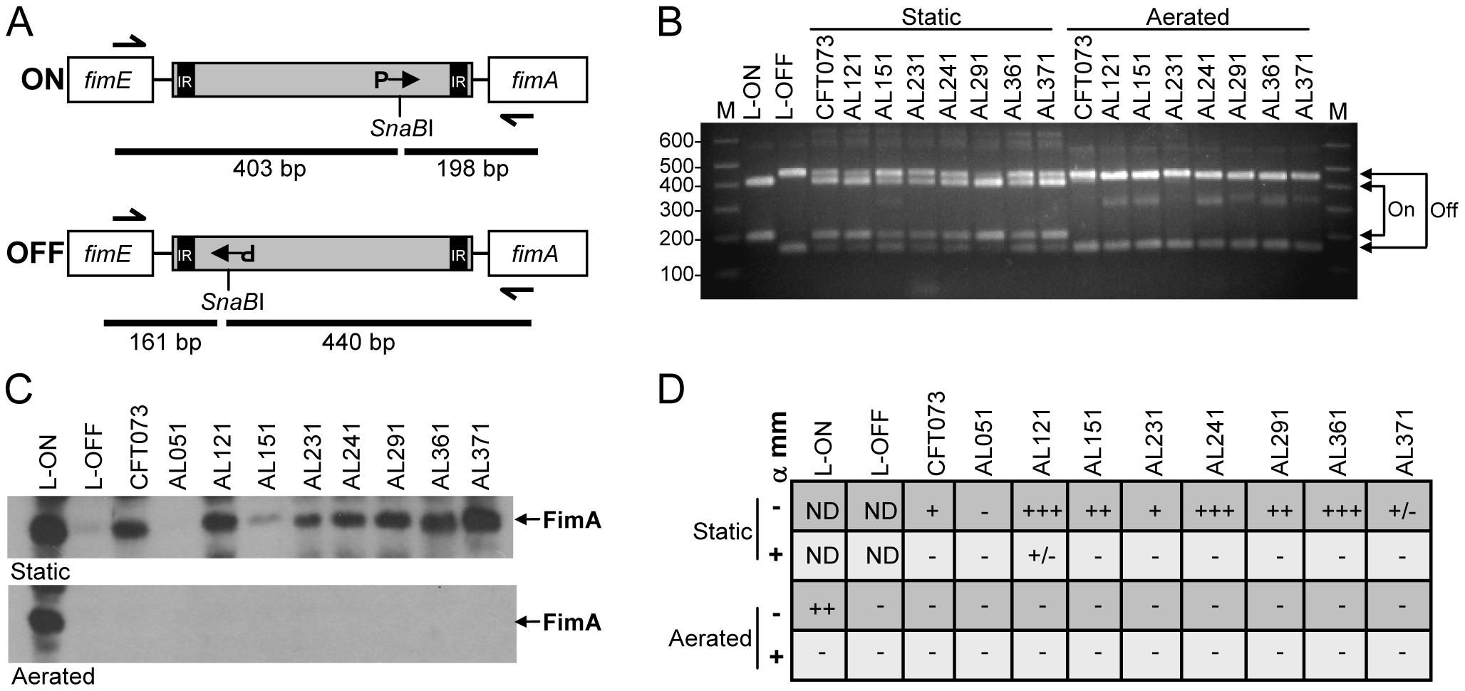 <i>In vitro</i> expression of type 1 fimbriae by clinical <i>E. coli</i> isolates.