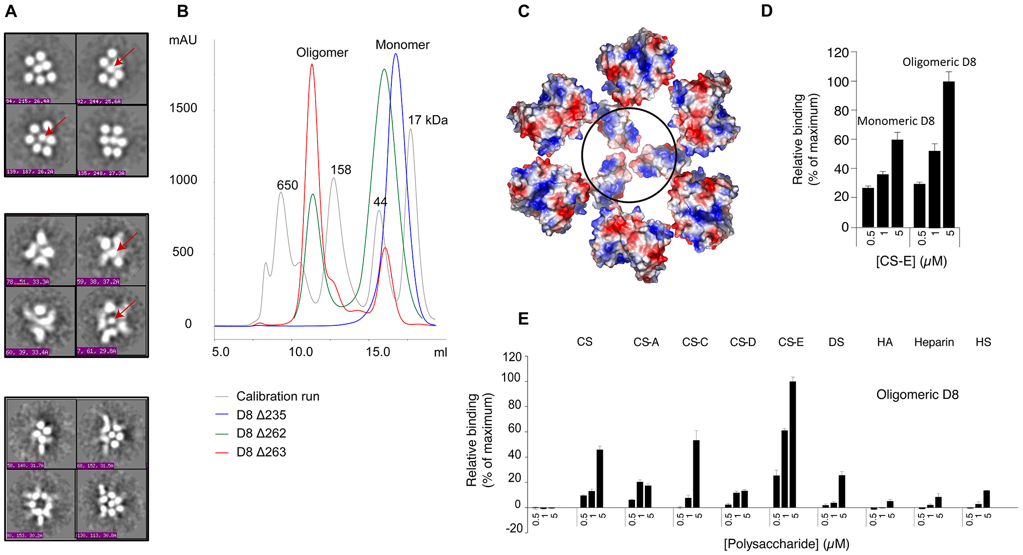 D8 oligomeric interface is secluded to the C-terminal region 235–262.