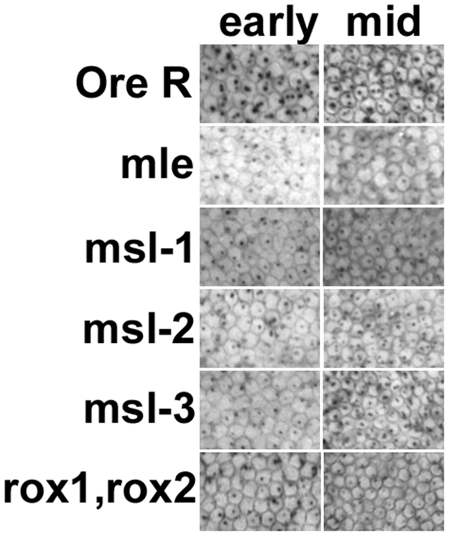 Transcription from the <i>Sxl</i> maintenance promoter, <i>Sxl<sub>Pm</sub></i>, is also reduced in embryos homozygous for the <i>msls</i>.