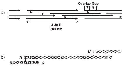 Skládání kolagenních molekul do vlákna: a - fibrila vzniká skládáním molekul tropokolagenu posunutých vůči sobě vždy zhruba o jednu čtvrtinu délky b - fibrila je stabilizována spojením molekul tropokolagenu kovalentními příčnými vazbami
