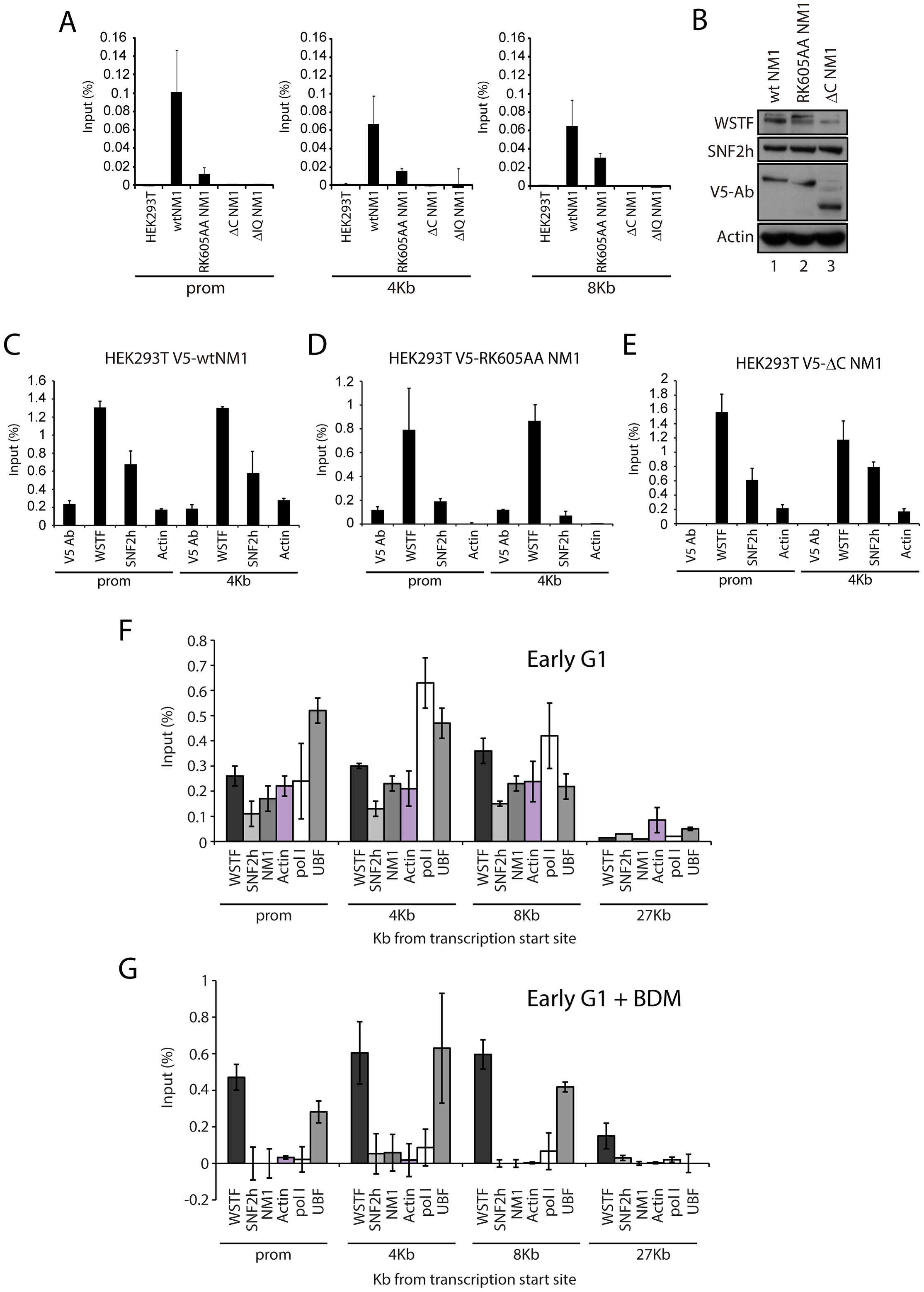 NM1 C-terminus and intact motor function are required for the association of NM1, SNF2h, and actin with rRNA genes.
