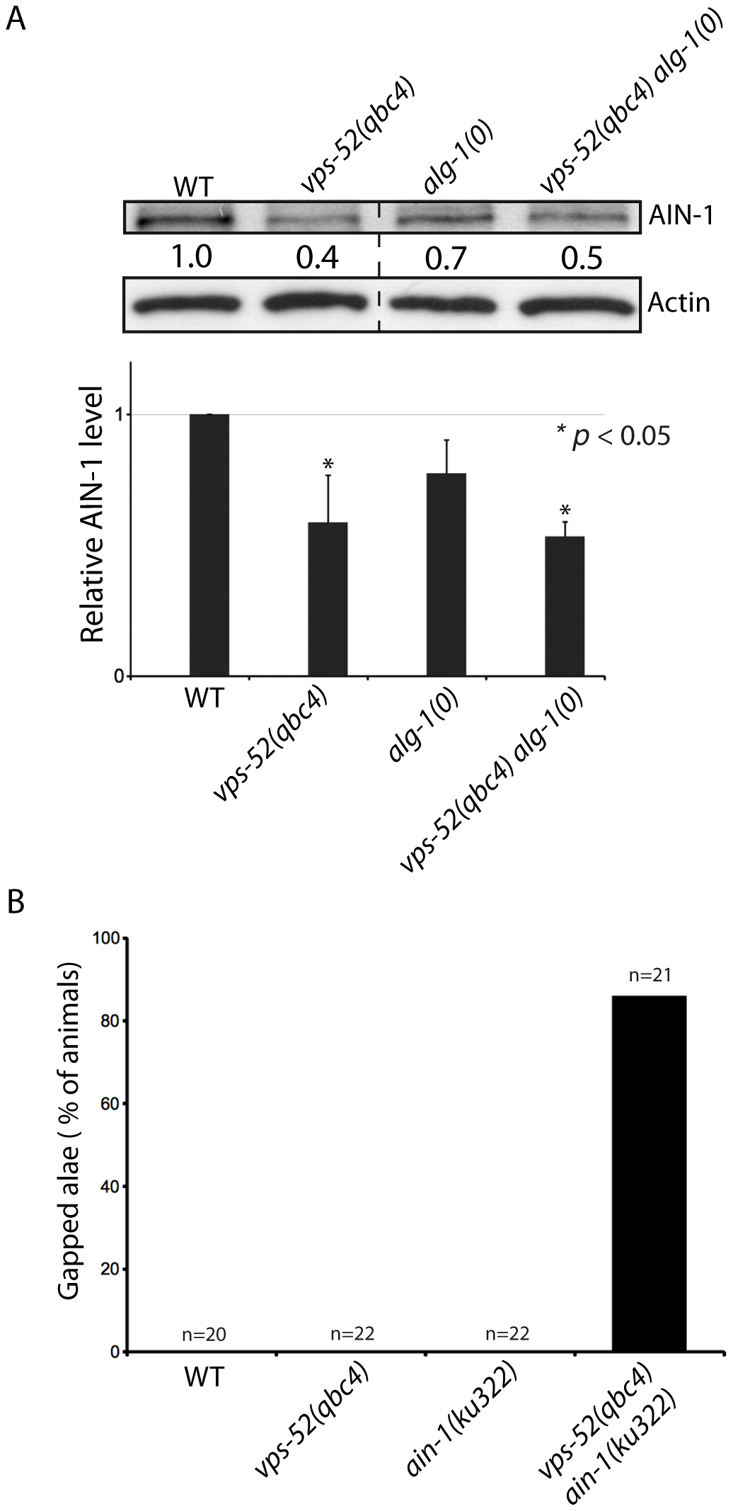 Effects of <i>vps-52</i> on the GW182 protein and GW182 mutant animals.