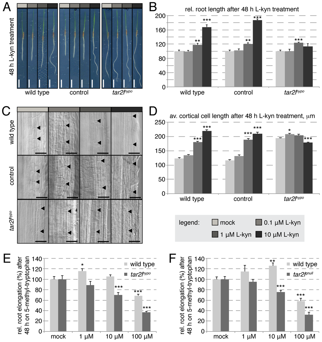 Effect of L-kynerunine (L-kyn) treatment on root elongation of different genotypes.
