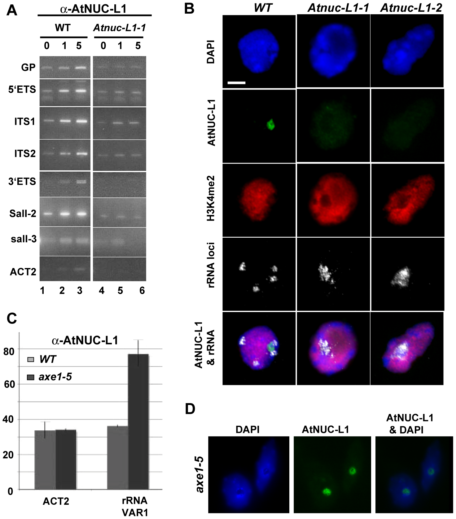 AtNUC-L1 binds specific rRNA gene units.