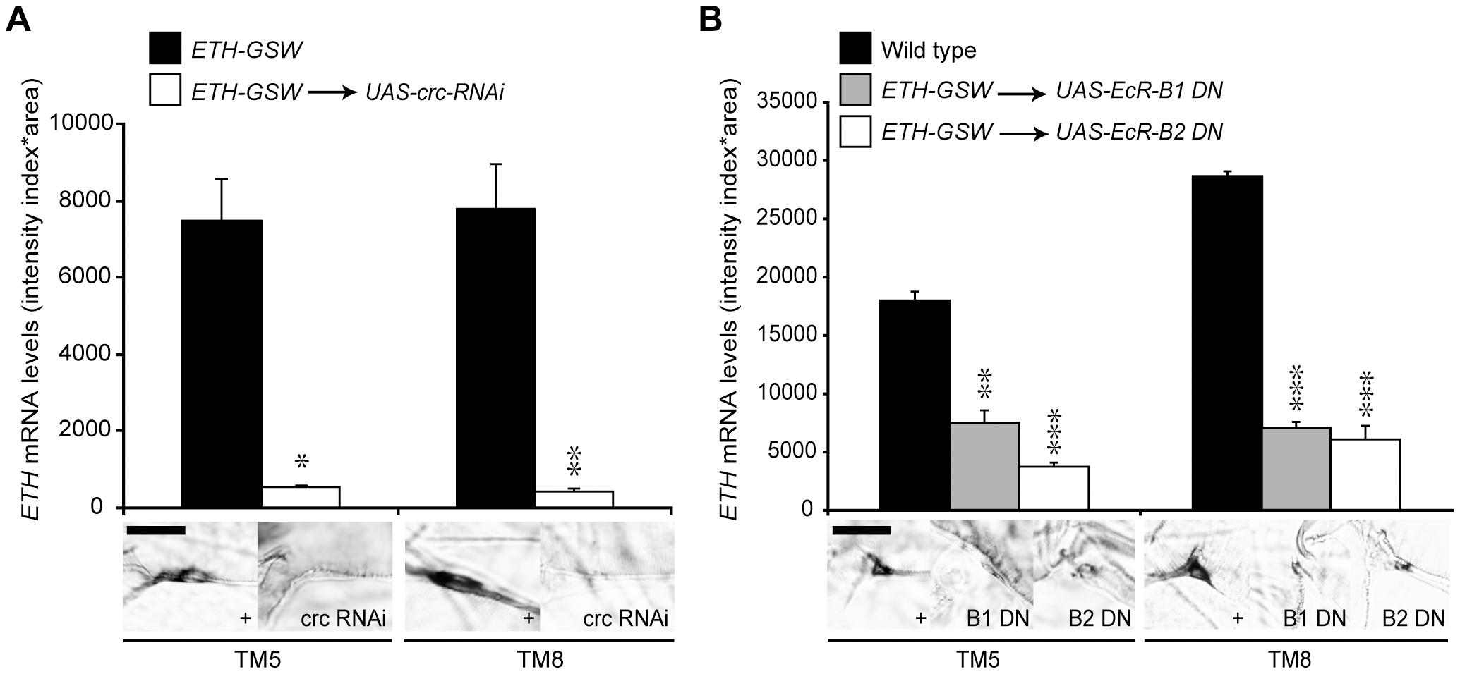 EcR-B1, EcR-B2, and CRC regulated <i>ETH</i> expression.