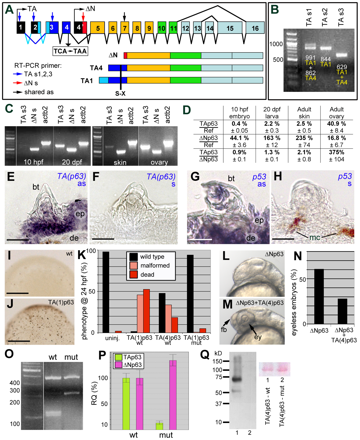 Structure, expression and biological activity of zebrafish TAp63, and molecular features of the mutant hu2525 allele.