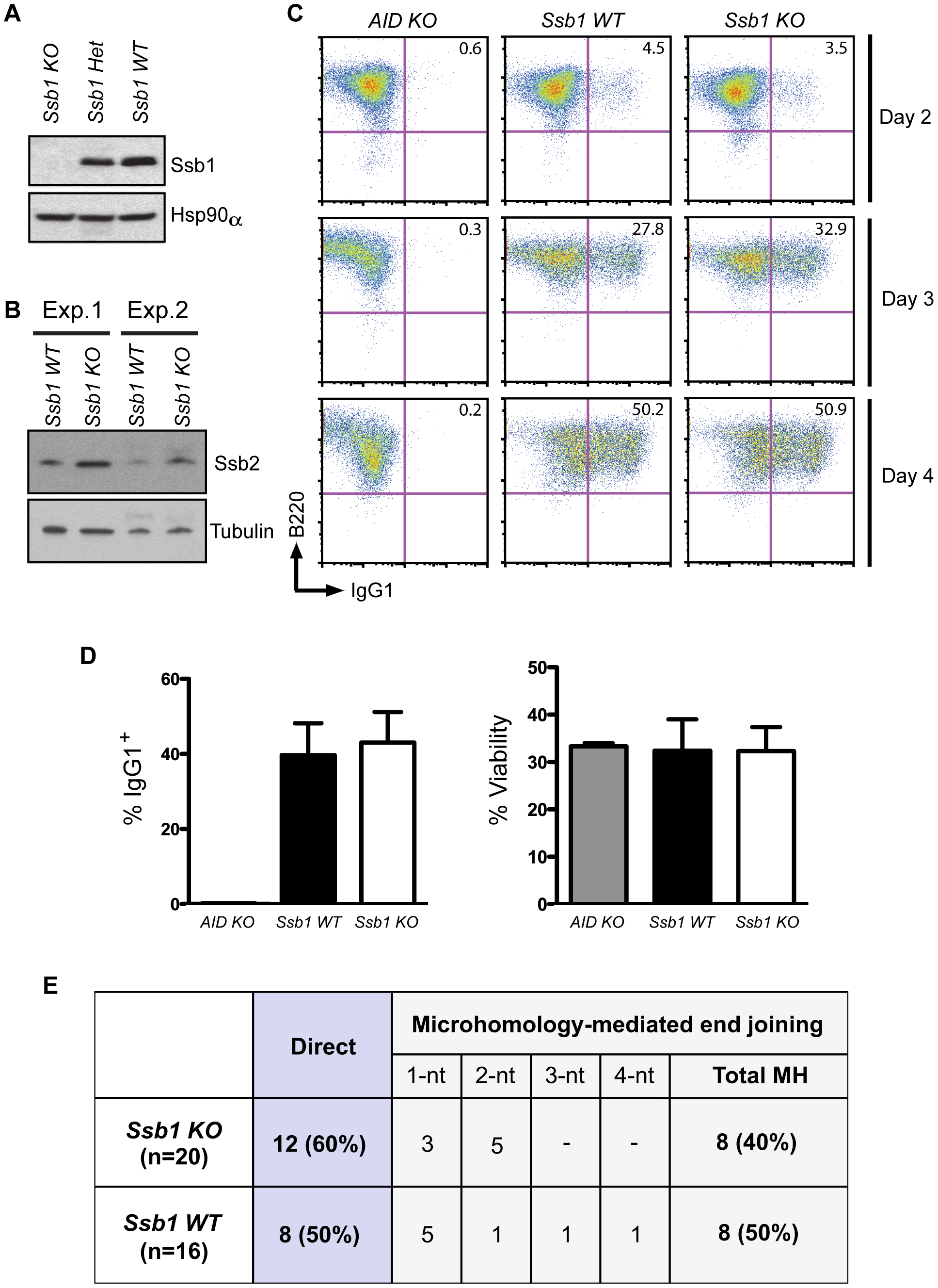 Class switch recombination activity in B-cell specific <i>Ssb1</i>-deleted mice.