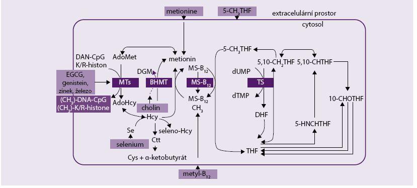 Schéma 2. Metabolizmus cholinu, metioninu a vitaminu B<sub>12</sub> [1]