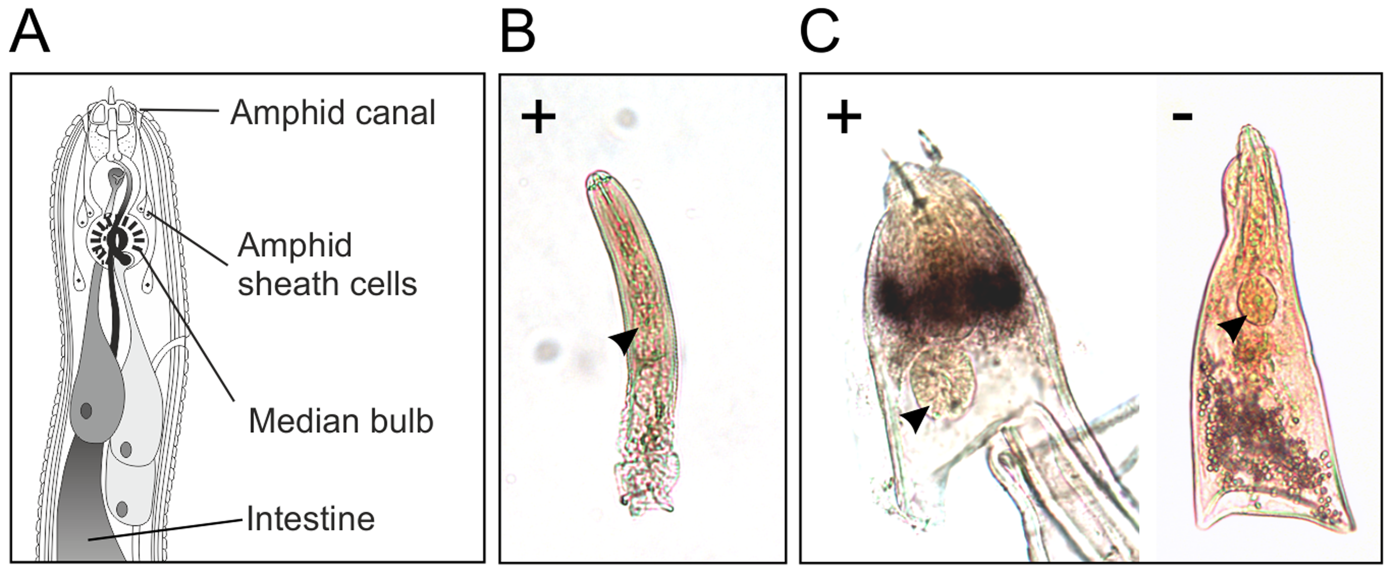 HYP effectors are expressed in the amphid sheath cells of parasitic females.