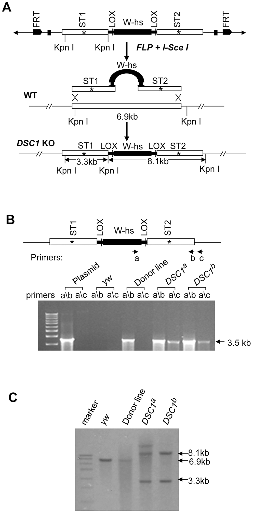 Method for targeted gene knockout and confirmation by PCR and Southern blot analysis.