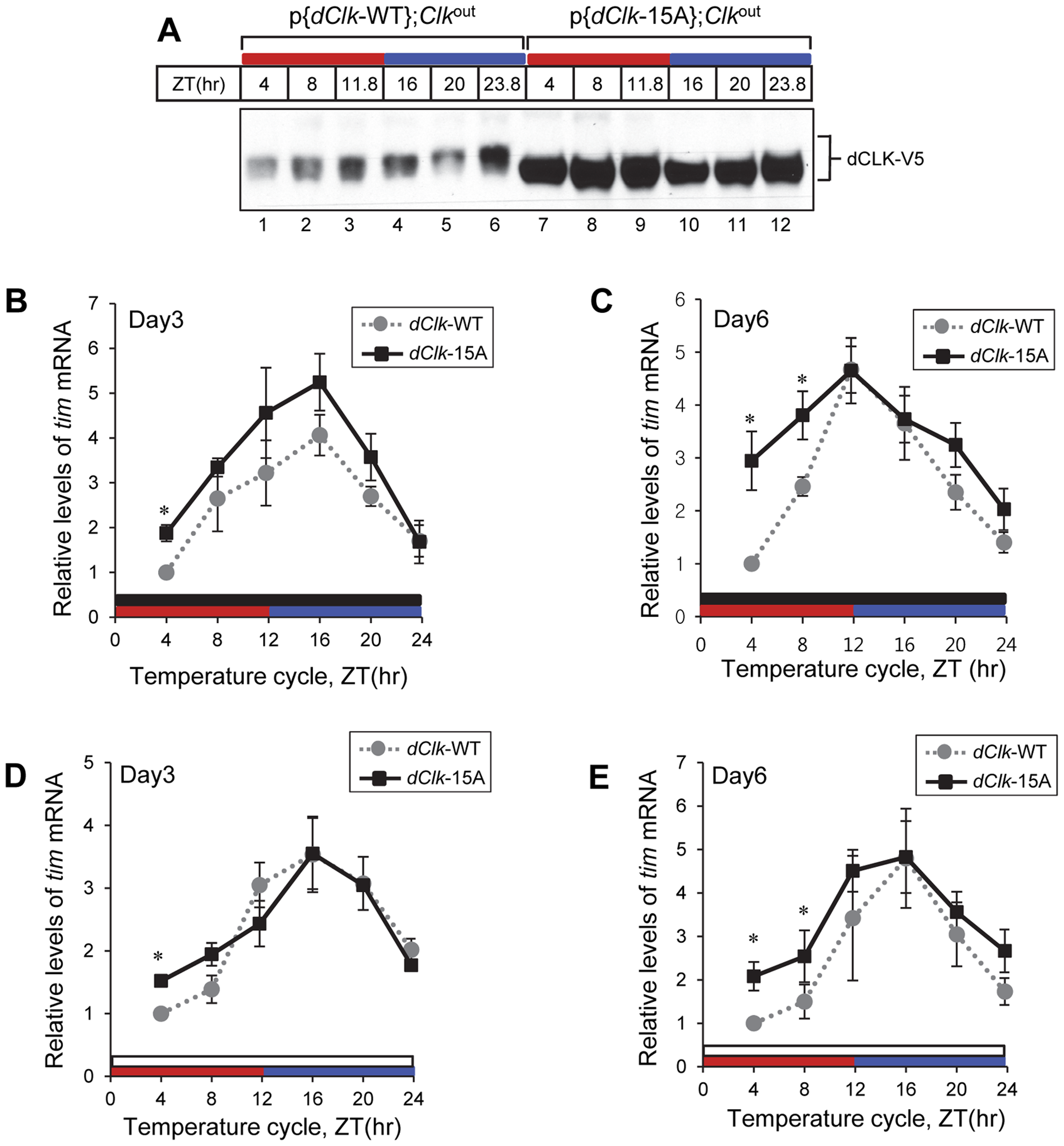Molecular rhythms in p{<i>dClk</i>-15A};<i>Clk</i><sup>out</sup> flies show increased alterations after prolonged entrainment to temperature cycles.