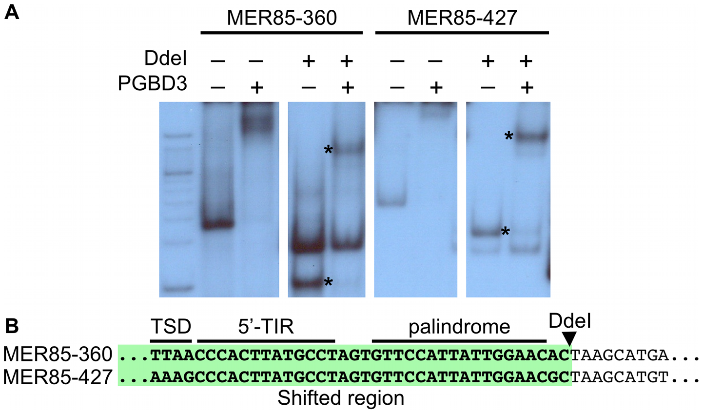 The PGBD3 transposase binds to the 5′ end of MER85s <i>in vitro</i>.