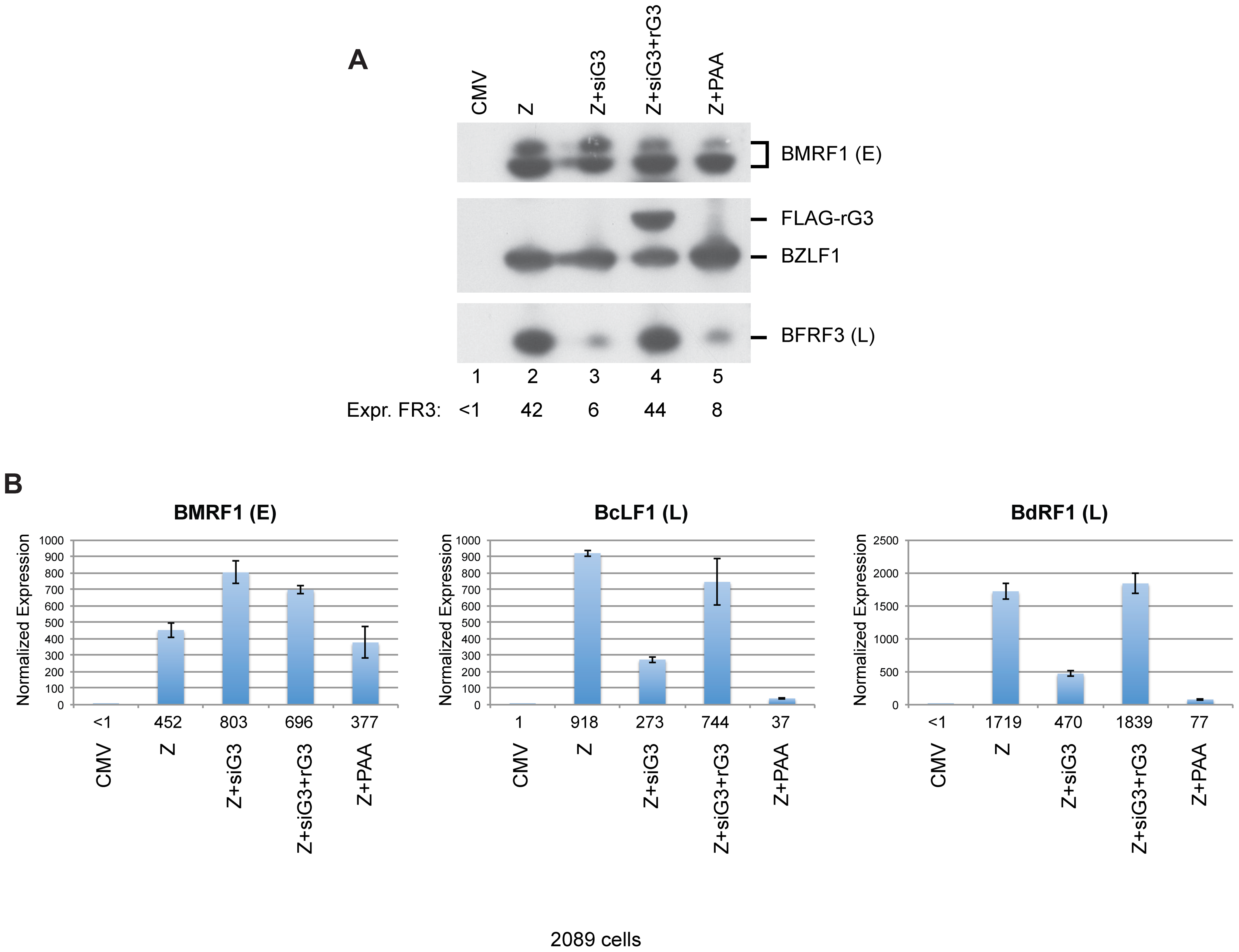 Silent mutations in BGLF3 suppress the effect of siG3 on late gene expression.