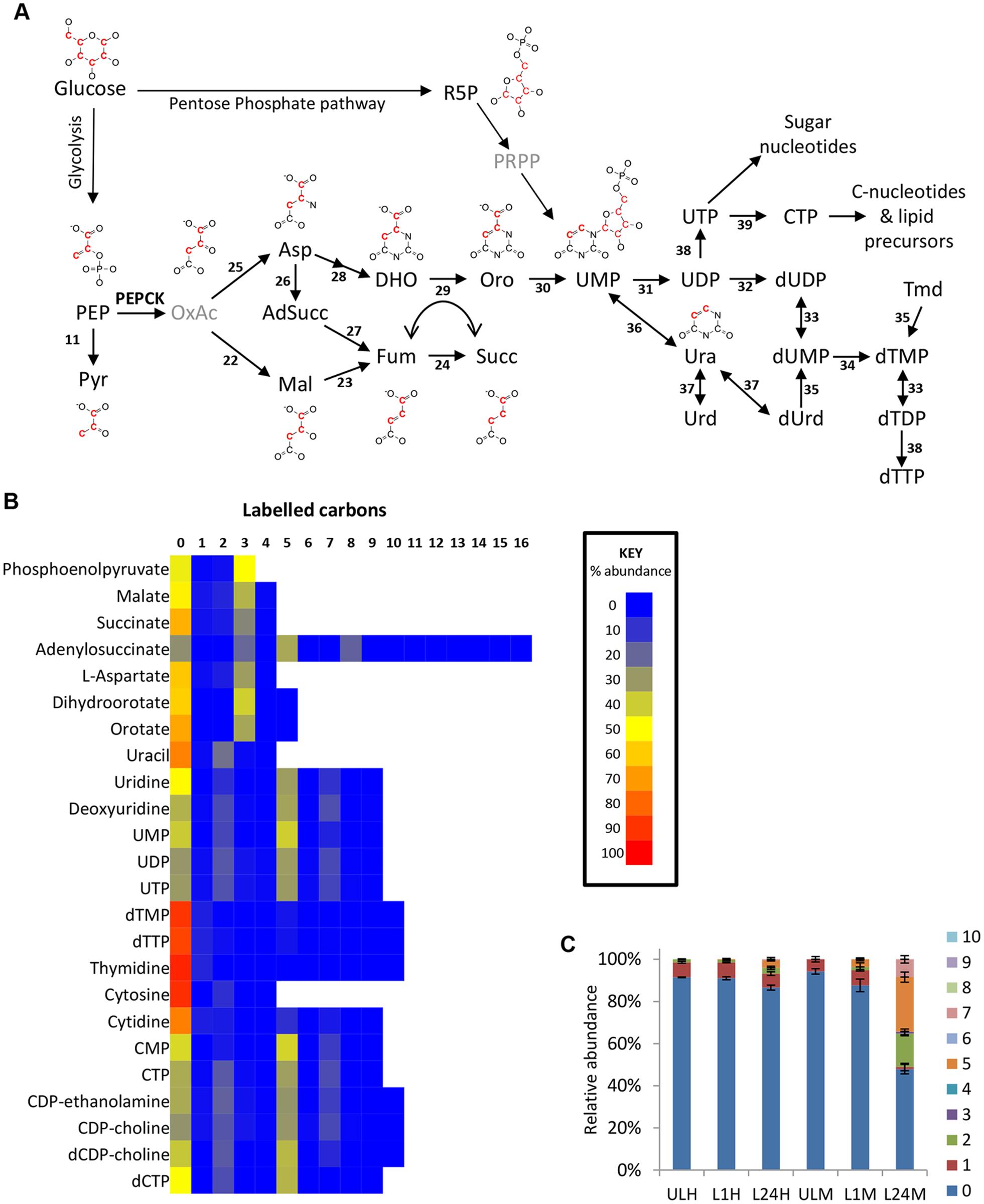 Glucose-derived dicarboxylic acid and pyrimidine metabolic pathways in BSF <i>T</i>. <i>brucei</i> indicate activity of PEPCK.