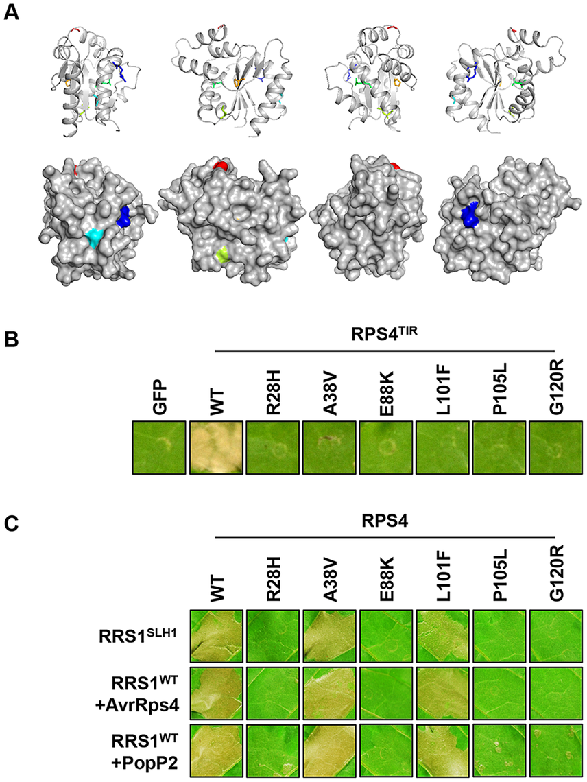 Functional analysis of <i>SUSHI</i> mutations in the RPS4 TIR domain.