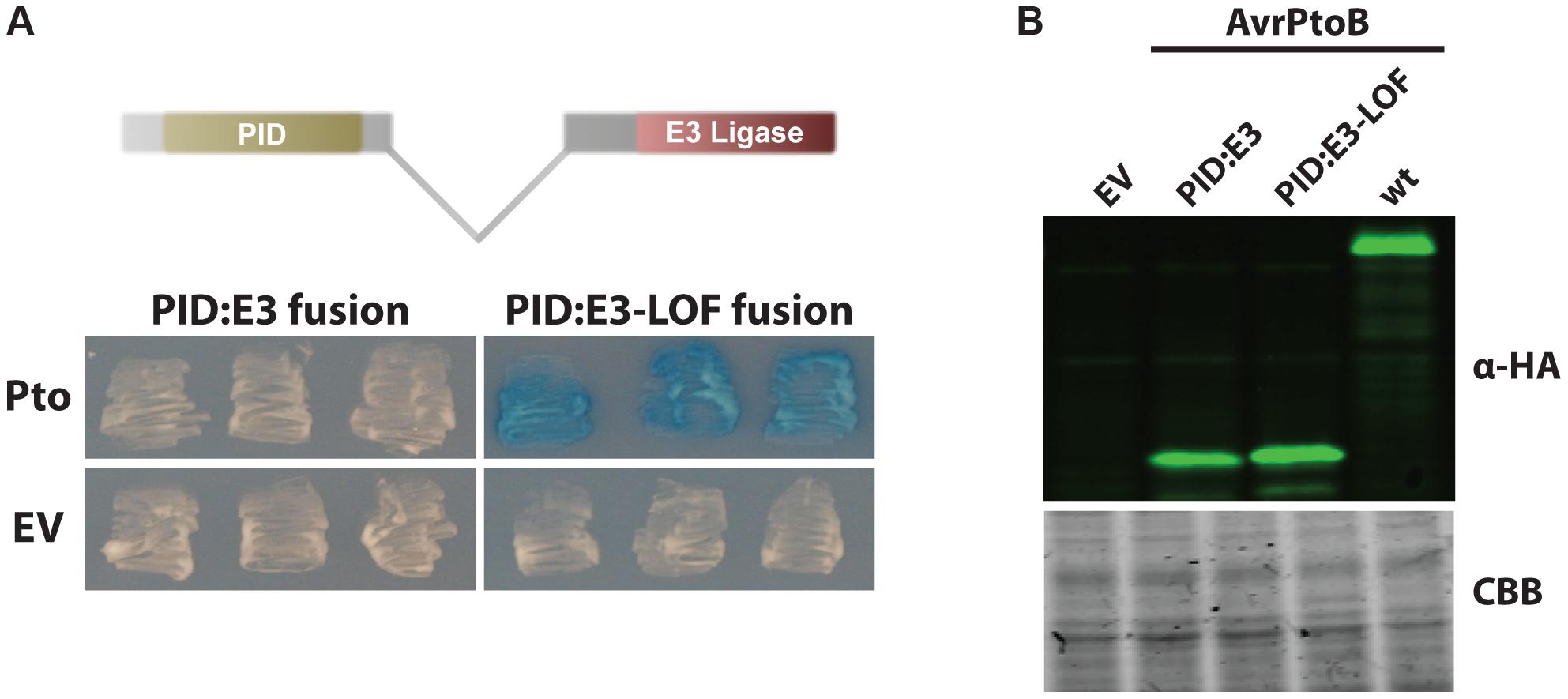 AvrPtoB mediates Pto degradation if the kinase is positioned closer to the AvrPtoB E3 ligase.