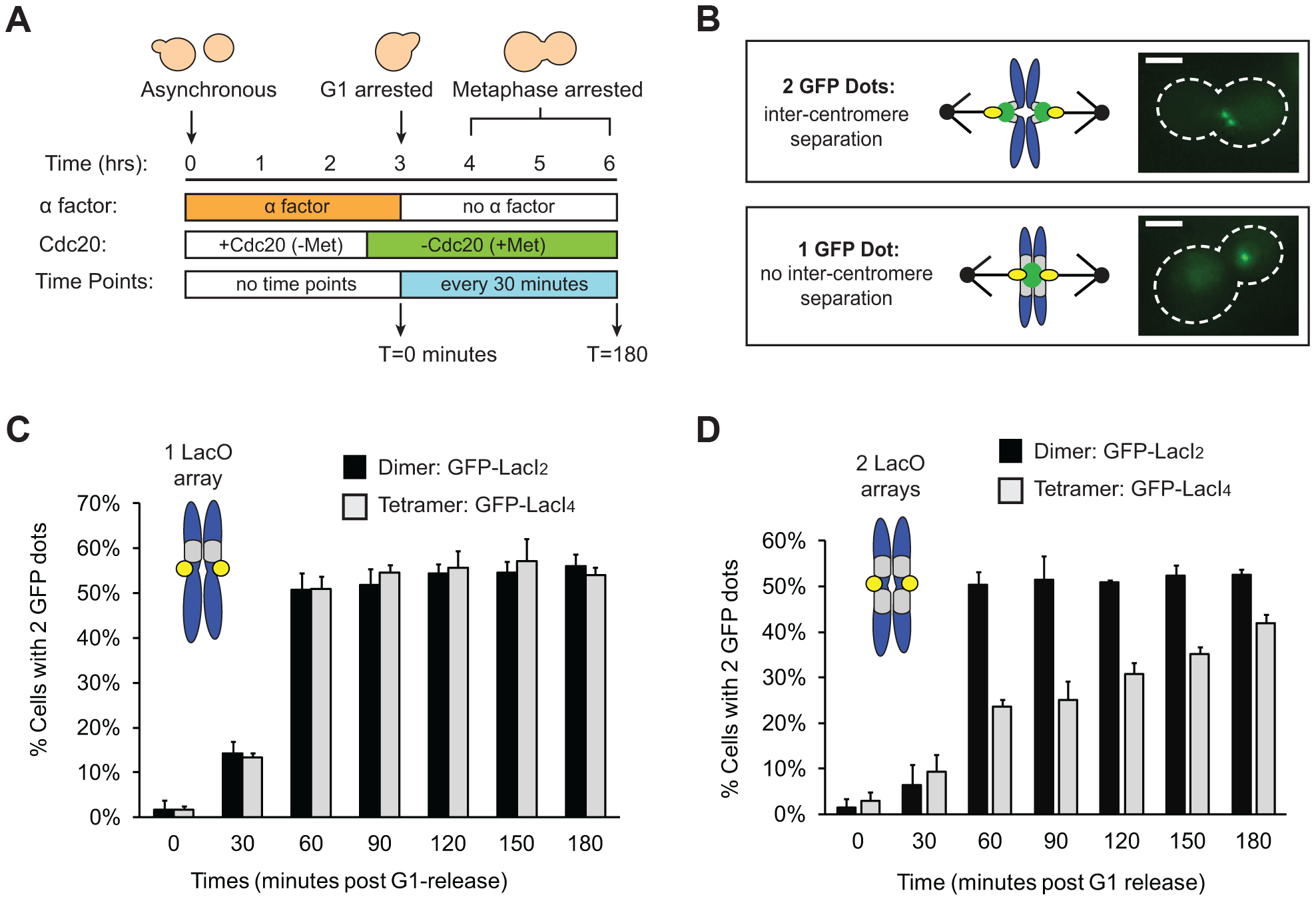 Tetrameric Lac repressor inhibits sister chromatid stretching.