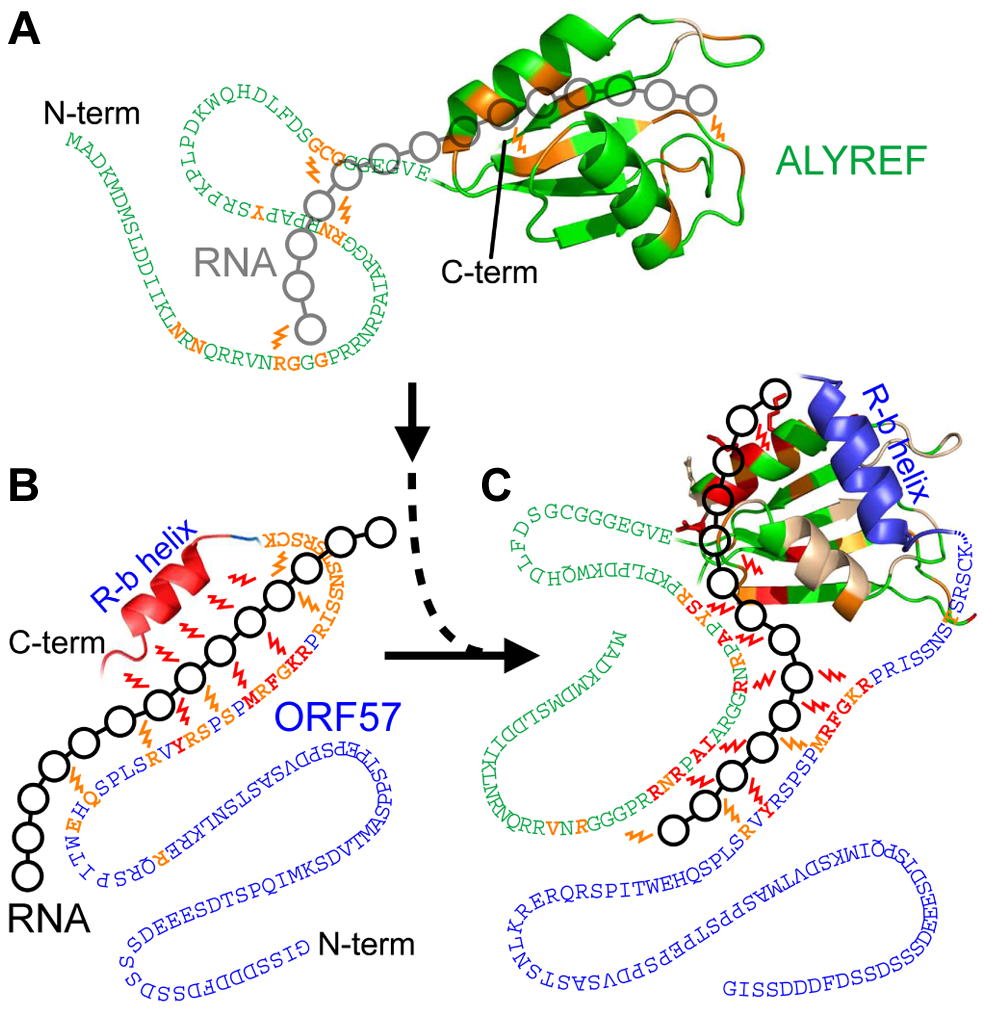 Model of the passage of RNA between ORF57 and ALYREF.