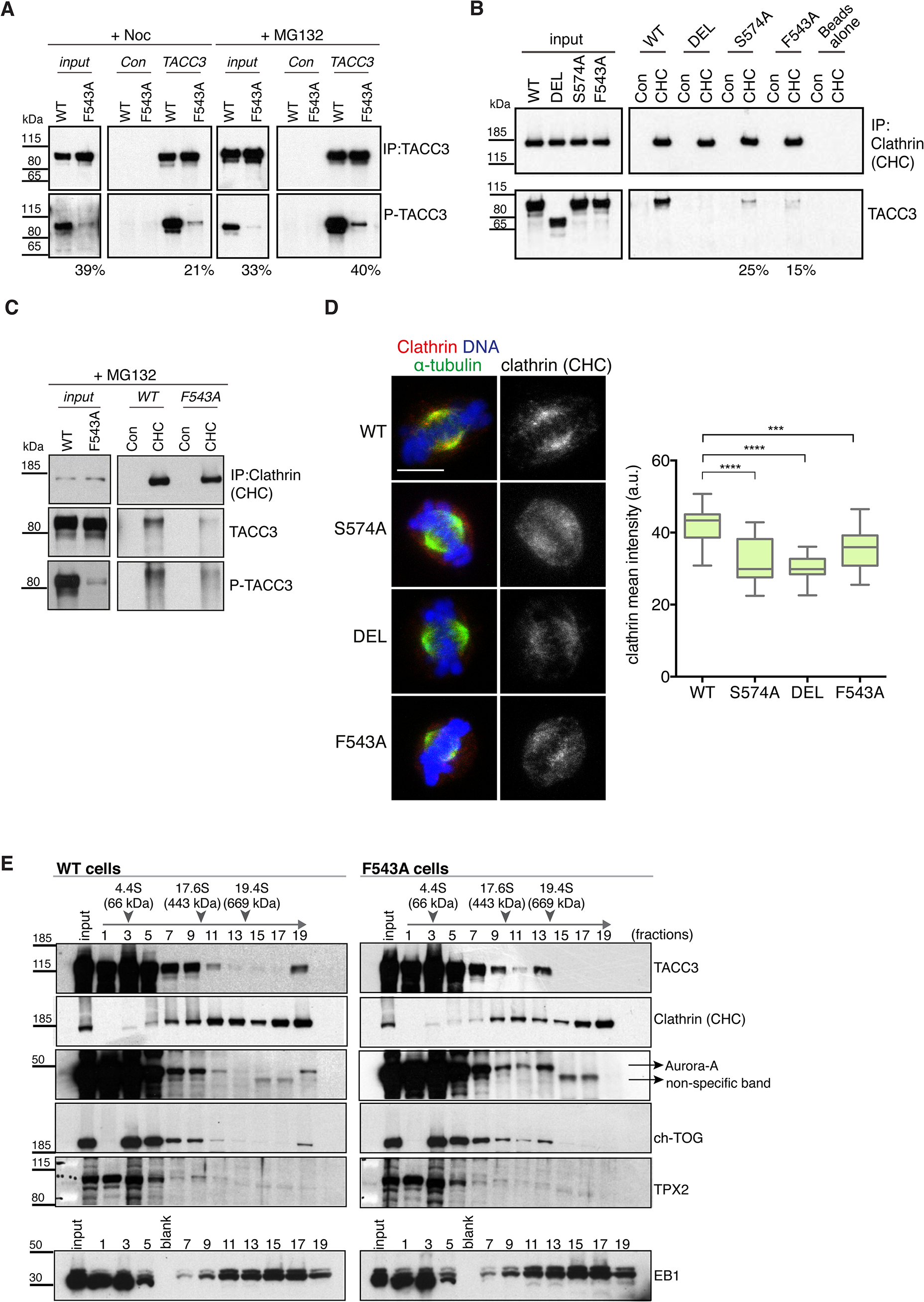 The F543A mutation impairs phosphorylation of TACC3 and its interaction with clathrin.
