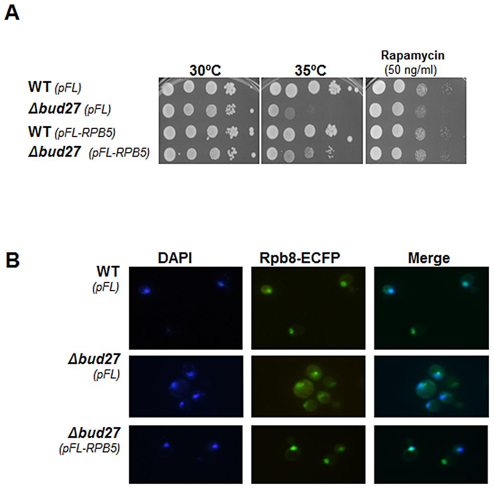 Δ<i>bud27 mutant</i> phenotypes are corrected by overexpression of different <i>BUD27</i> constructions and <i>RPB5</i>.