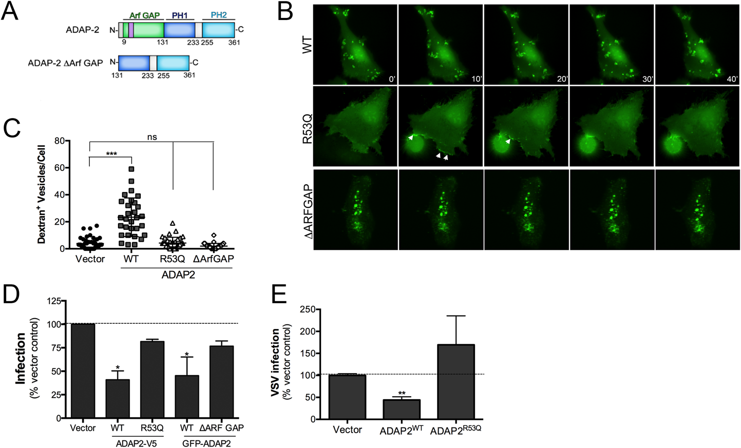 The Arf6 GAP activity of ADAP2 is required for its induction of macropinocytosis and antiviral effects.