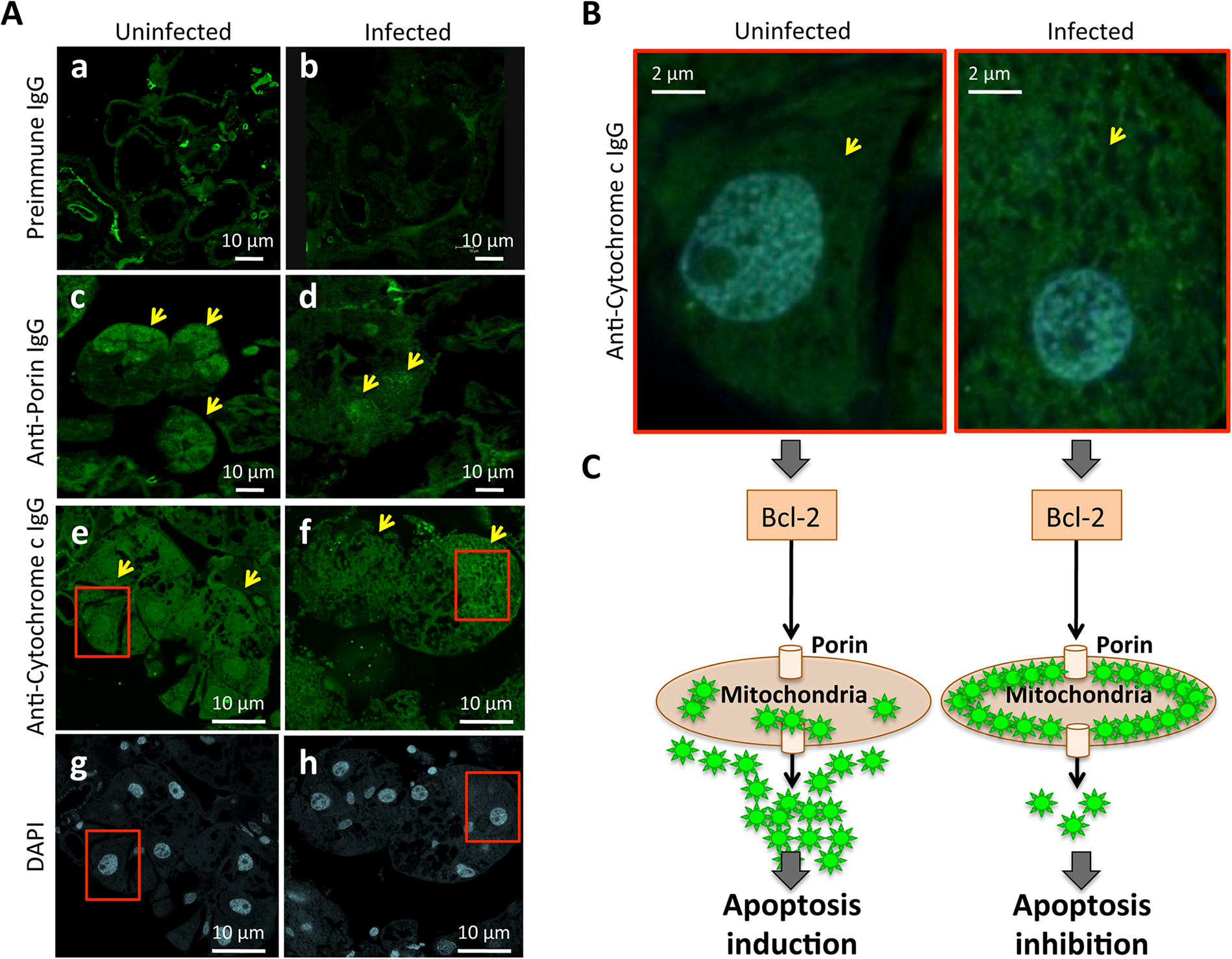 Immunohistochemical localization of tick Porin and Cytochrome c.