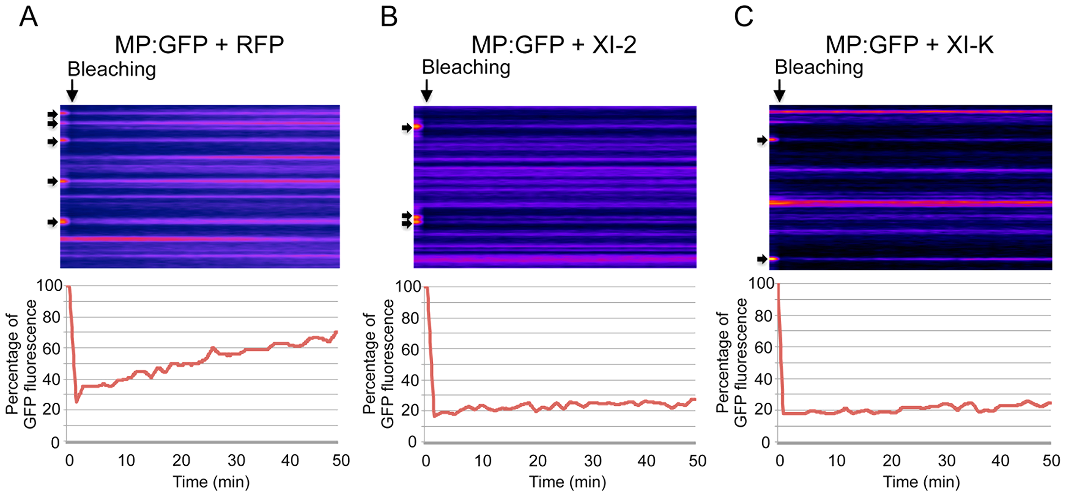 Inhibition of myosin XI-2 and XI-K reduces the efficiency by which MP is targeted to PD.