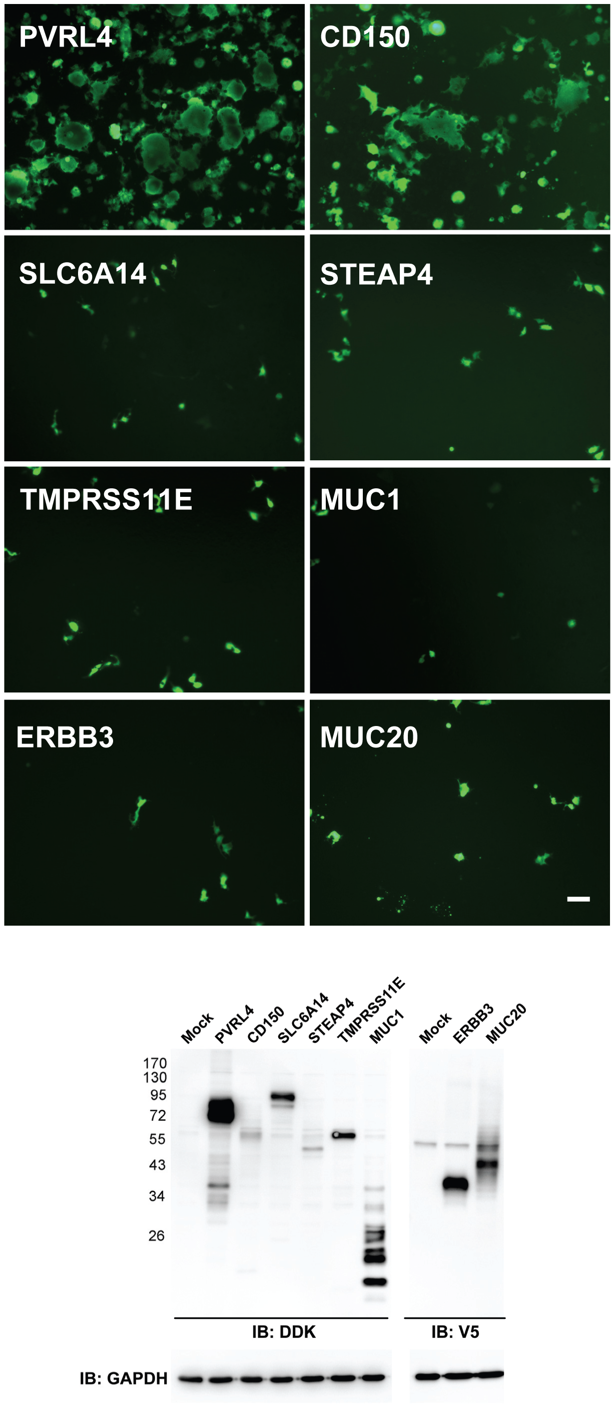 PVRL4 (Nectin 4) can function as an entry factor for IC323-EGFP wtMV.