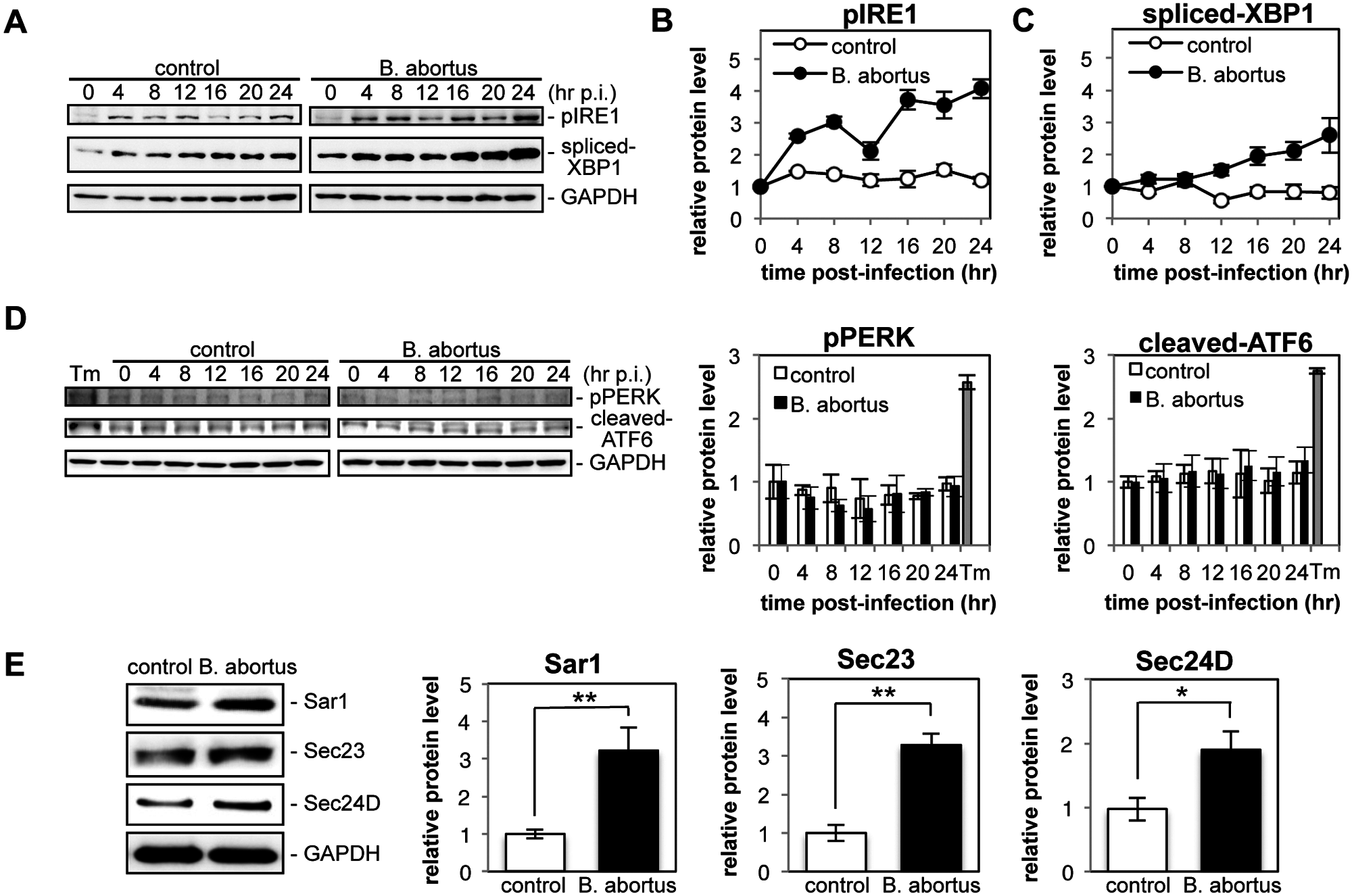 Infection with <i>Brucella abortus</i> activates the IRE1 pathway of the UPR and leads to the upregulation of the COPII vesicle components Sar1, Sec23 and Sec24D.