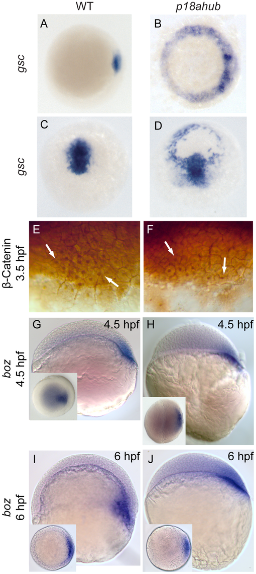 Dorsal organizer gene expression is expanded in <i>p18ahub</i> mutants.