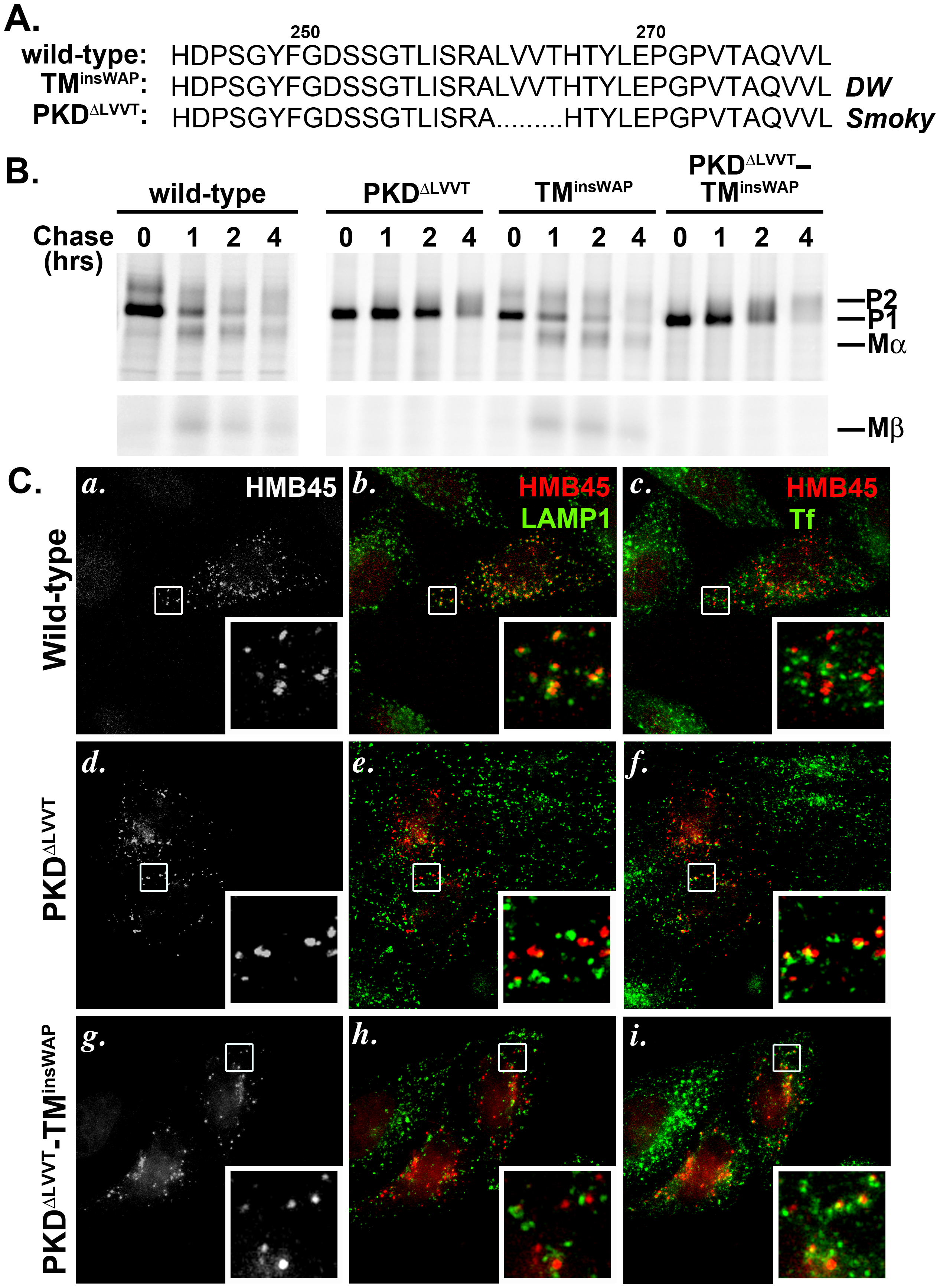The PKD<sup>ΔLLVT</sup> secondary mutation found in the <i>Smoky</i> chicken PMEL prevents delivery of TM<sup>insWAP</sup> mutant hPMEL to fibrillogenic compartments.