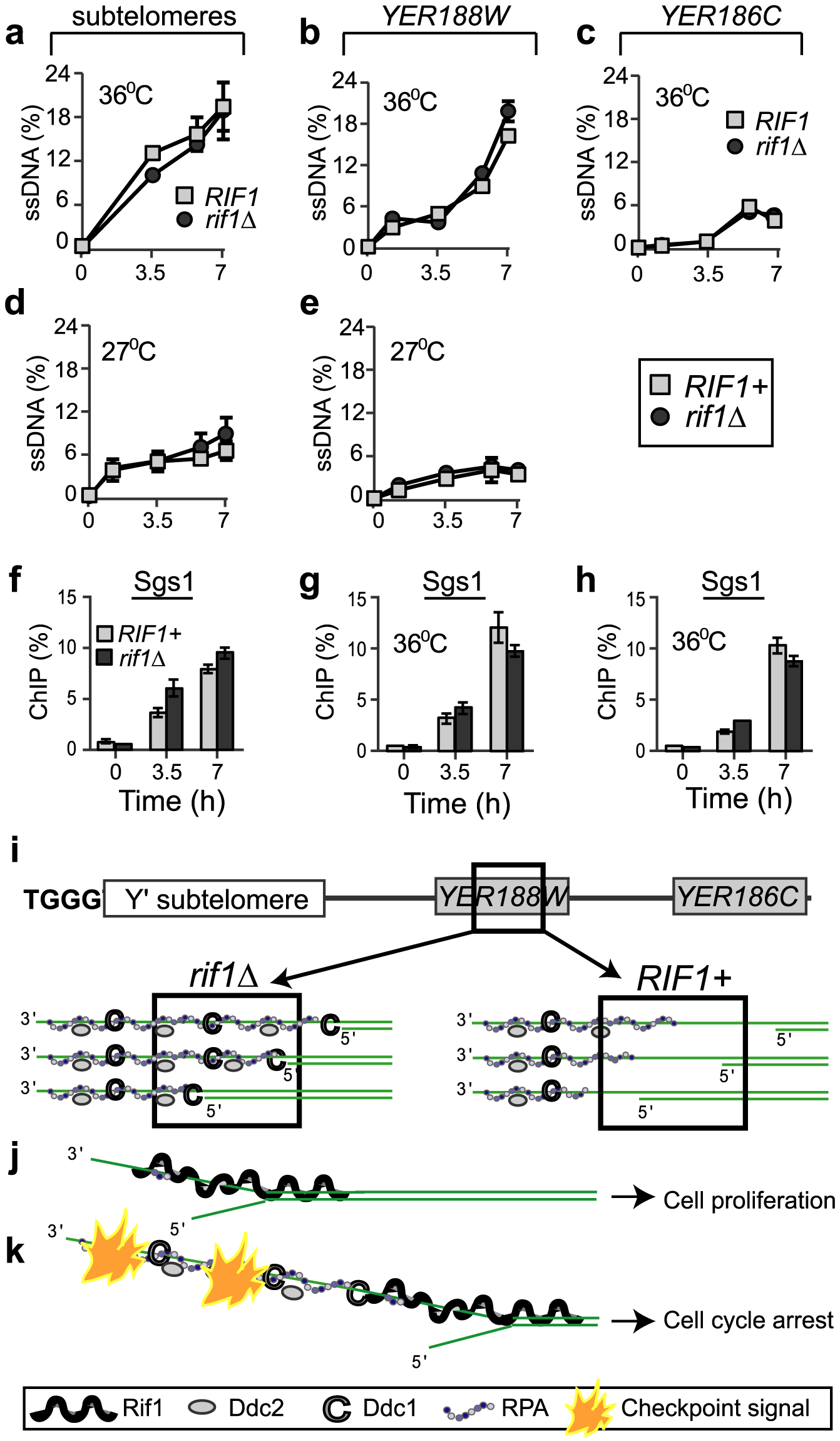 Rif1 does not inhibit resection of sub-telomeres and single gene loci.
