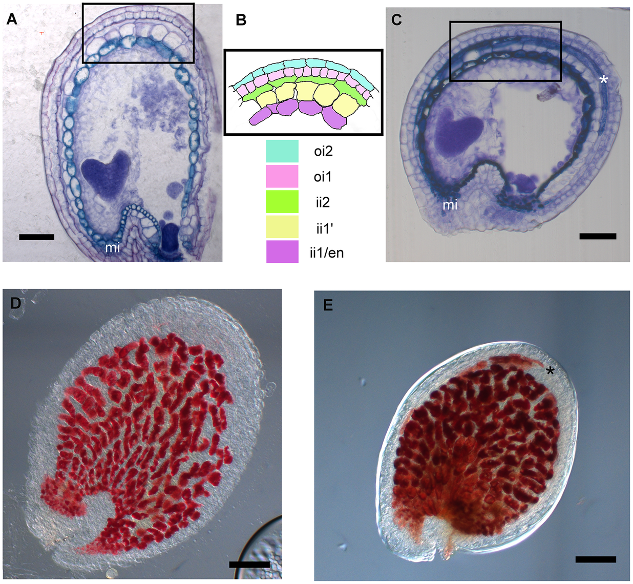 <i>stk</i> mutant seeds present defects in seed coat PA accumulation.