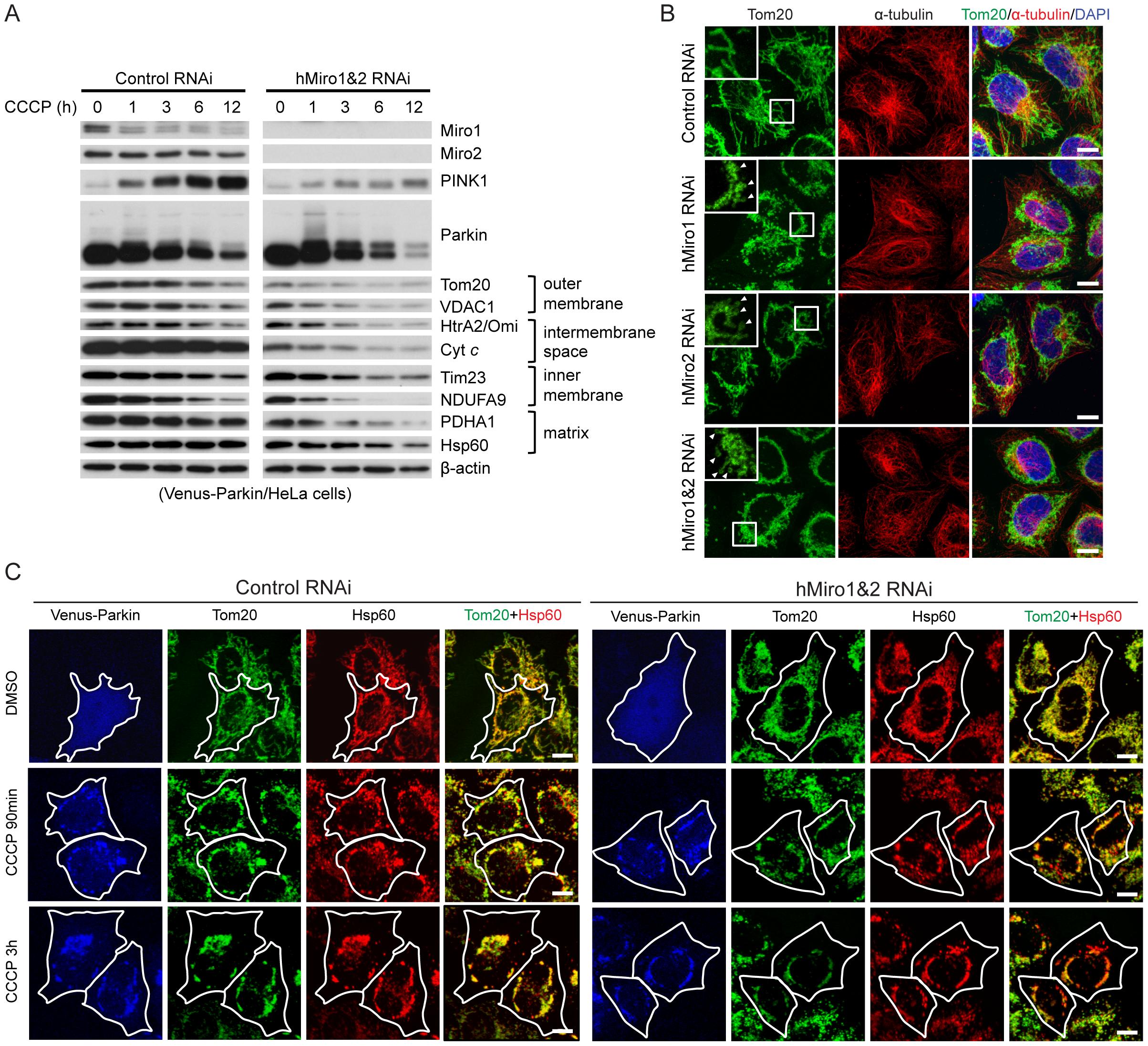 Miro knockdown facilitates the removal of damaged mitochondria by Parkin-mediated mitophagy.