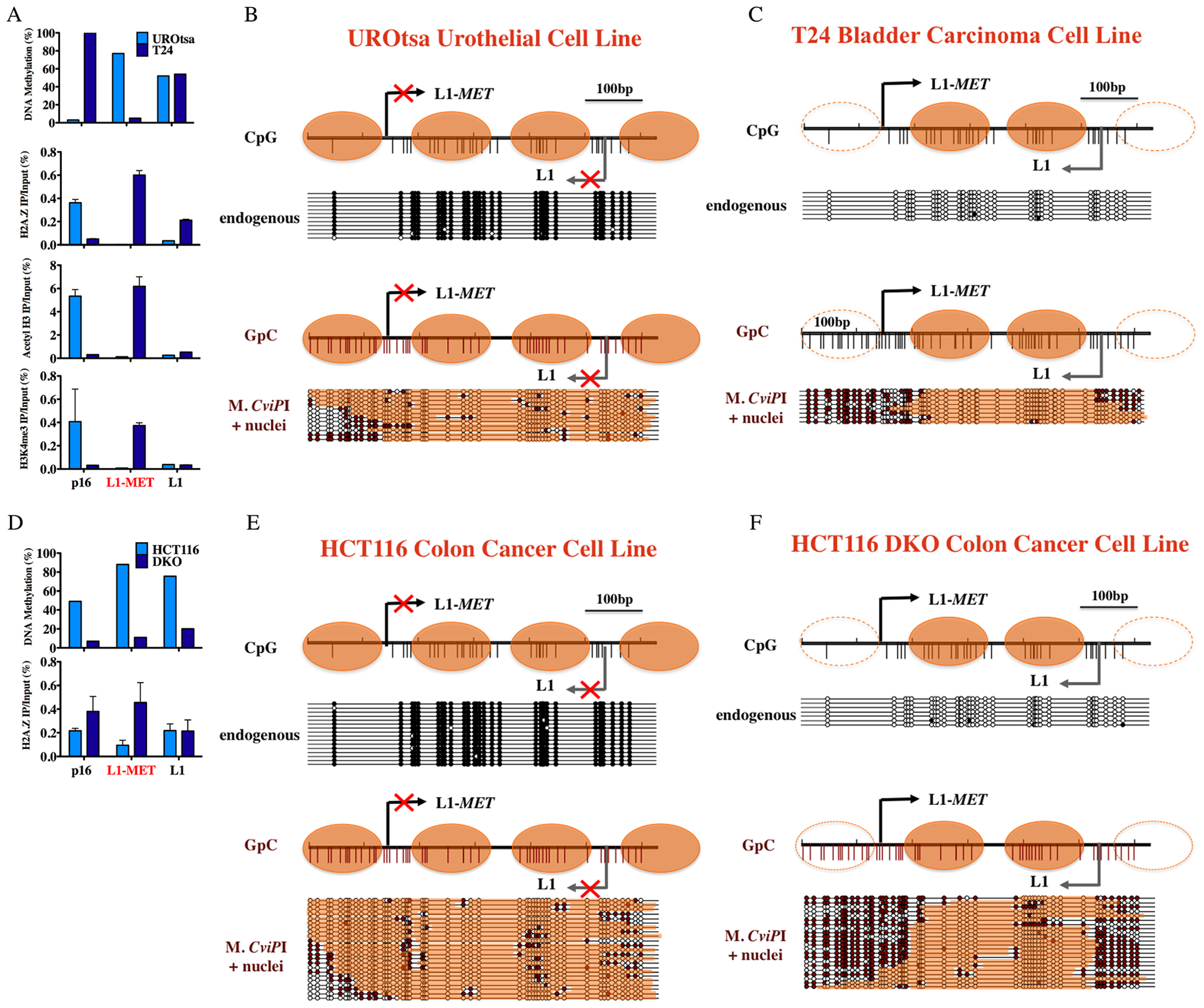 Chromatin remodeling occurs at an active L1-<i>MET</i> promoter.