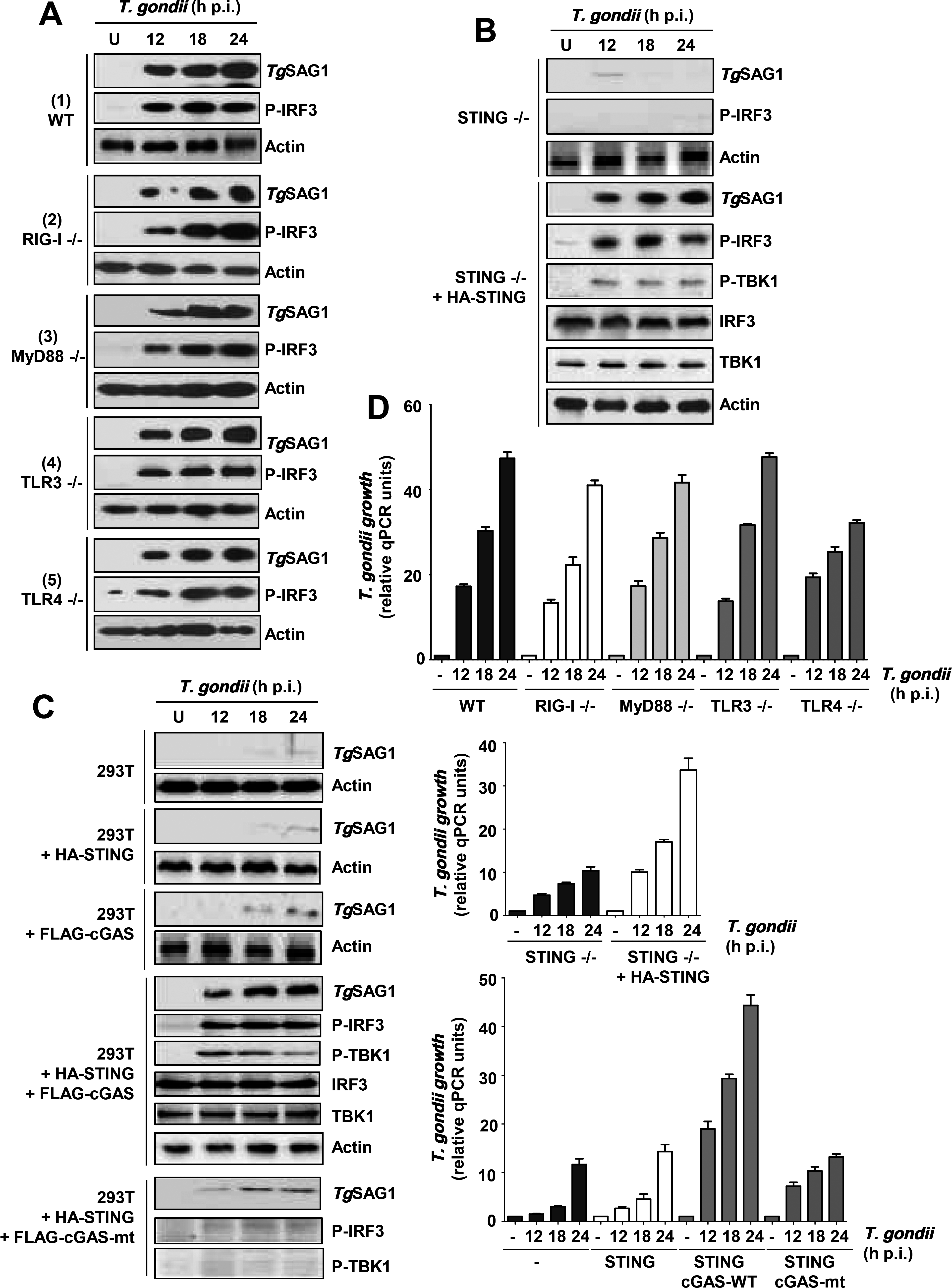 Essential role of a TLR3/4-independent cGAS-STING signaling axis in PISA and optimal <i>T</i>. <i>gondii</i> replication.
