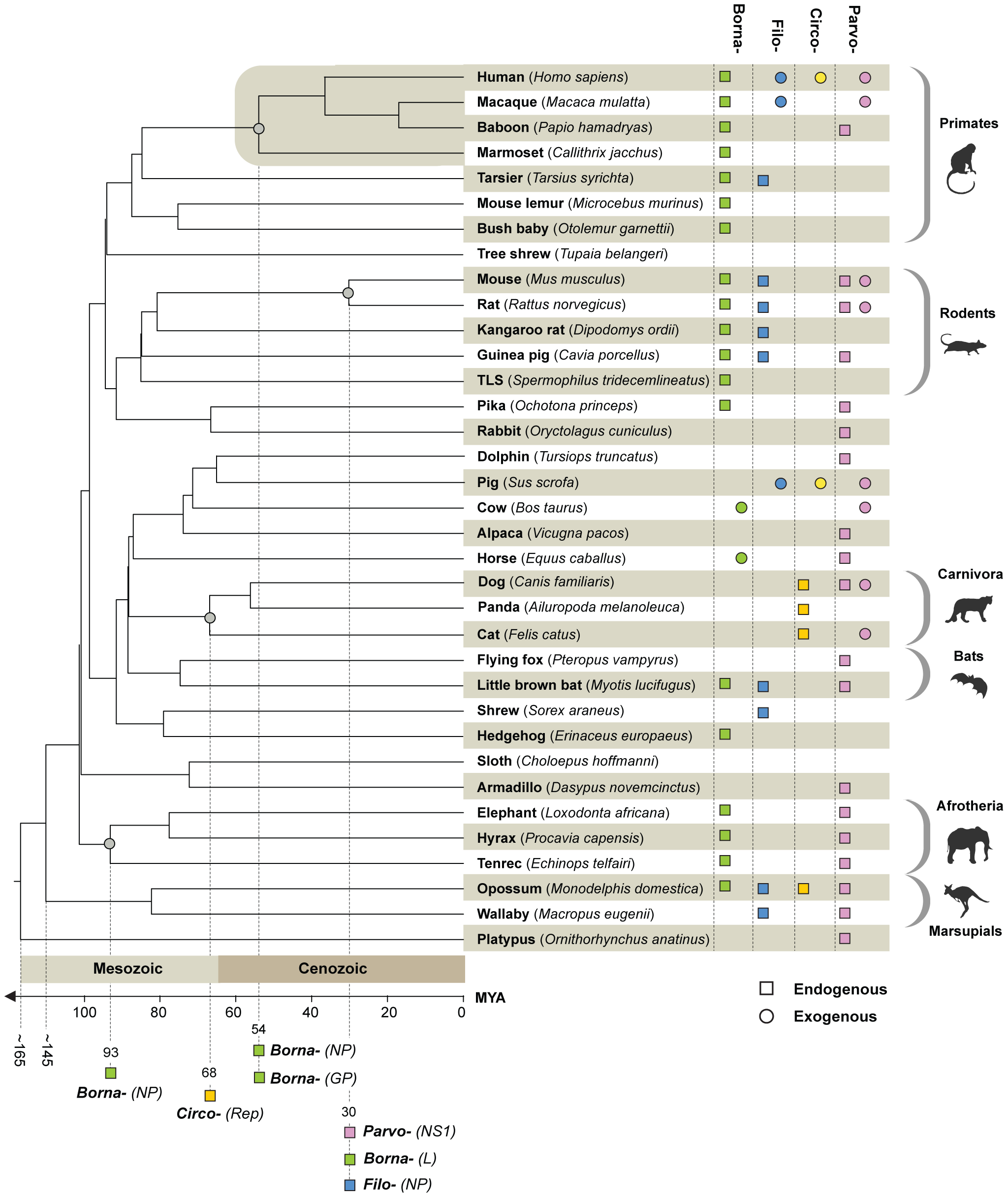 """Timescaled phylogenetic tree of mammals screened in this study (after Bininda-Emonds <i>et al</i> <em class=""""ref"""">[<b>42</b>]</em>) showing the known distribution of EVEs and of exogenous Borna-, Filo-, Circo-, and Parvoviruses."""